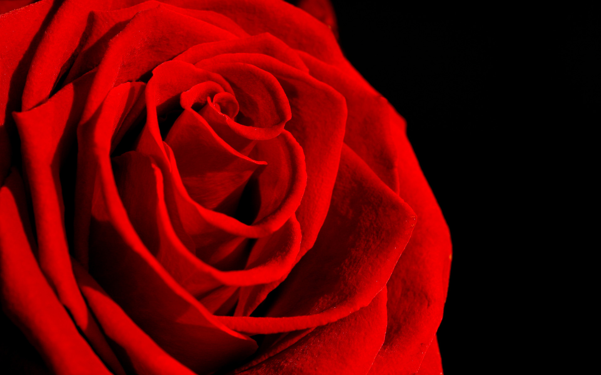 1920x1200 Red Rose