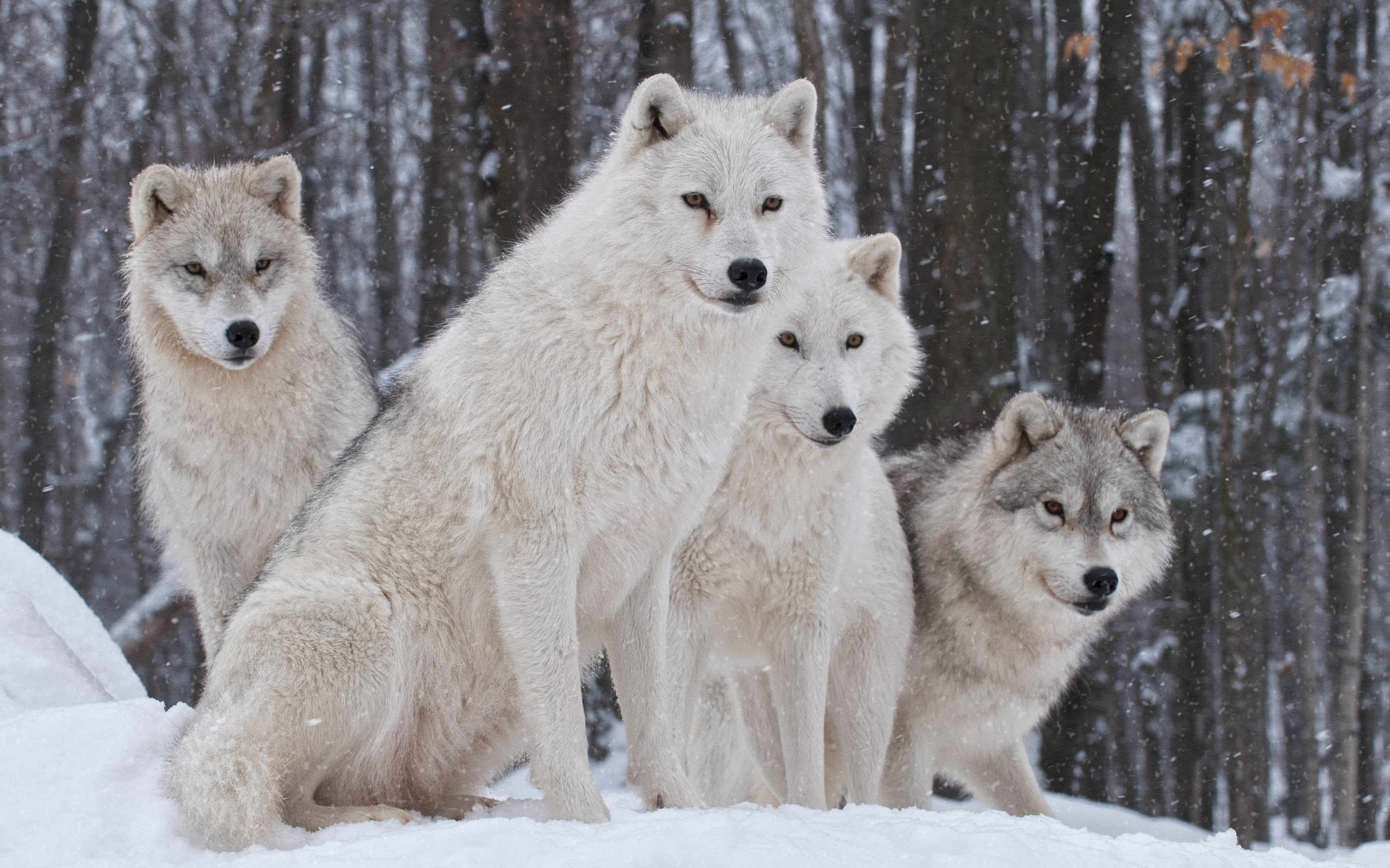 2880x1800 White Wolves HD Wallpaper and Pics