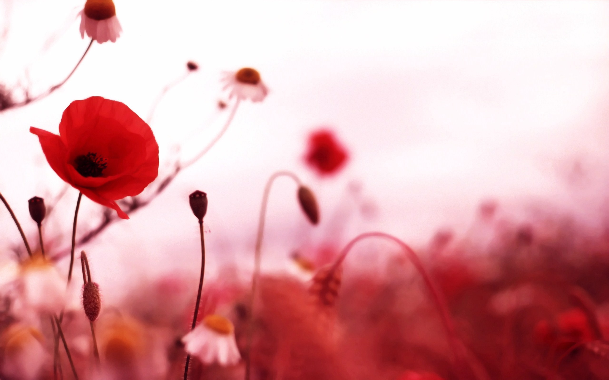 2560x1600 Poppy Flower Photography Wallpaper