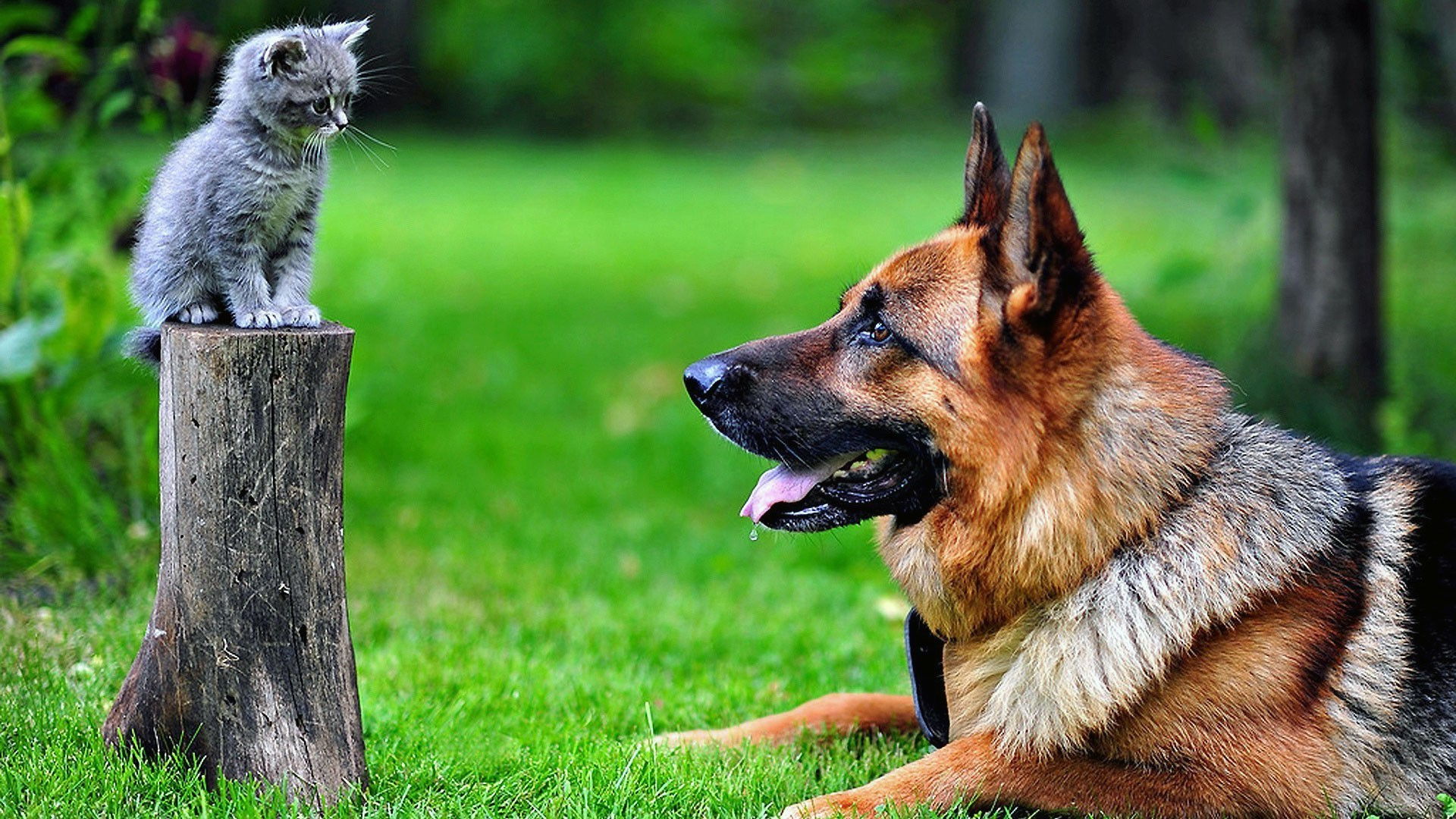 1920x1080 dog, Kittens, German Shepherd, Animals, Cat, Tree Stump Wallpapers HD /  Desktop and Mobile Backgrounds