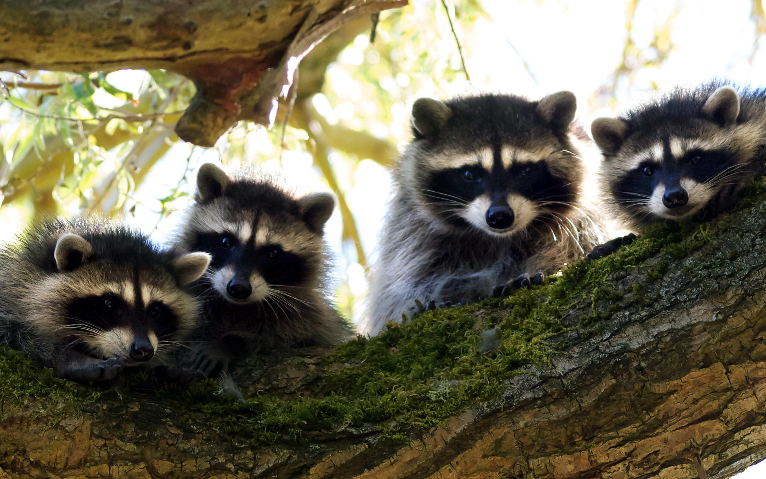 2560x1600 Animals, Mammalia, Procyonidae, Raccoon | HQ Wallpapers for PC