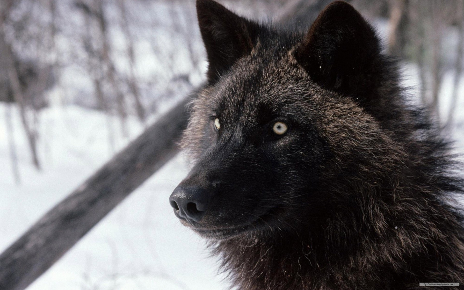 1920x1200 Free Animal wallpaper - Wolf wallpaper -  wallpaper - Index 2.