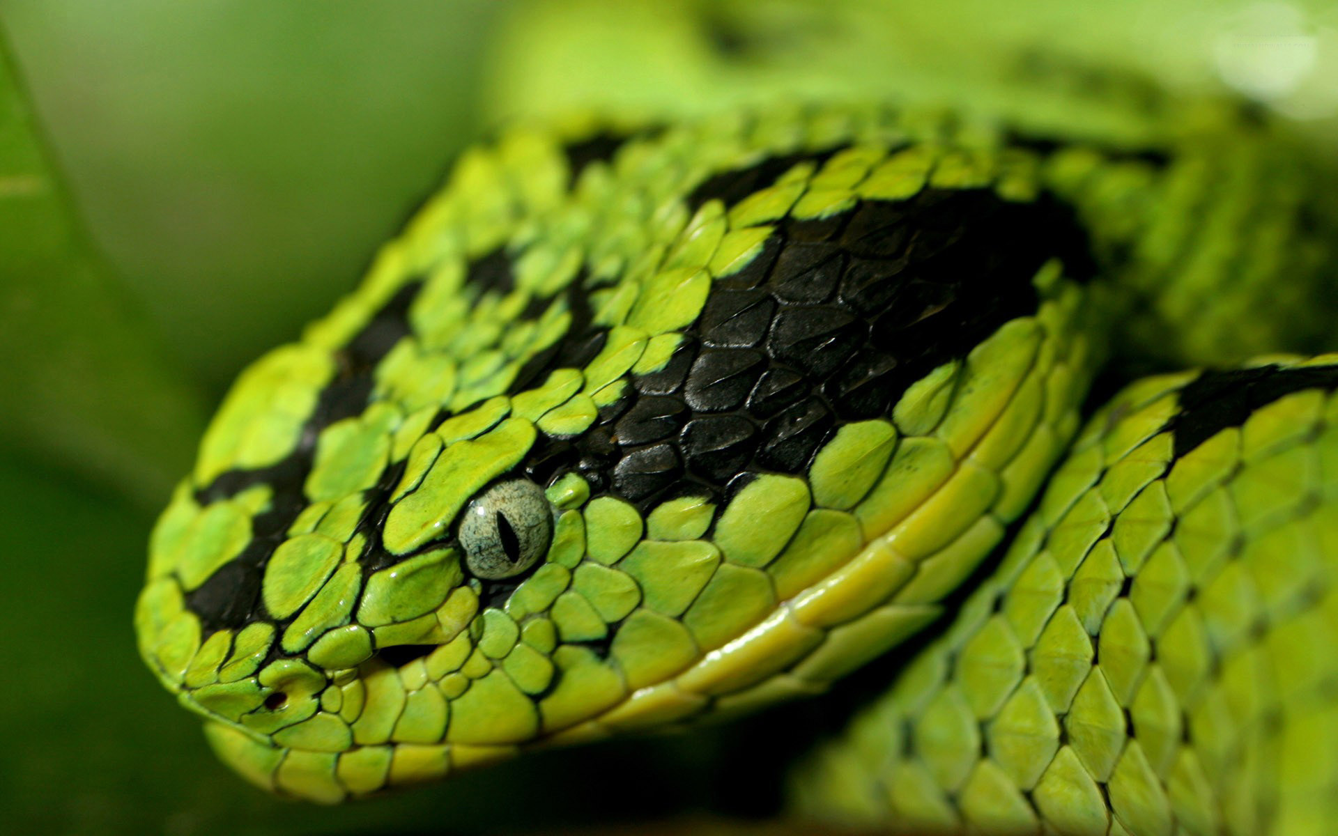 1920x1200 Snake Wallpaper : HD Wallpaper, Background Wallpaper