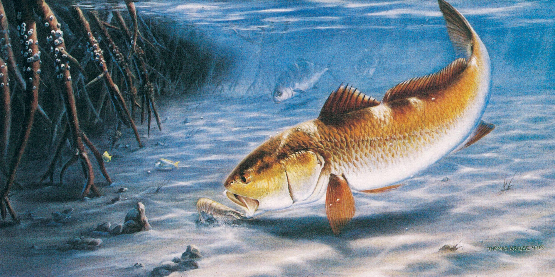 3001x1500 Redfish Wallpaper 14917 HD Wallpapers