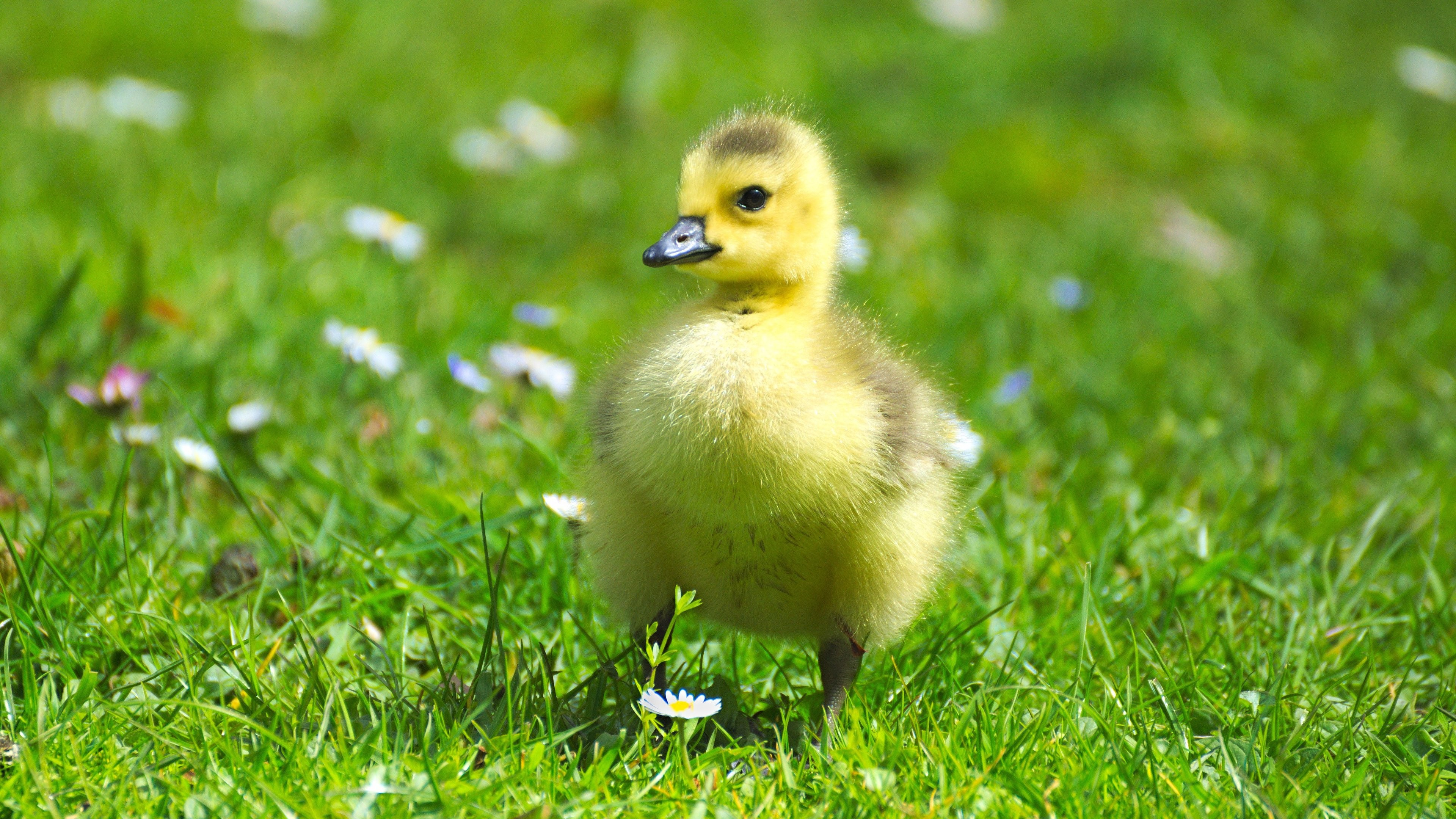 3840x2160 Fluffy Baby Goose iPad Wallpaper