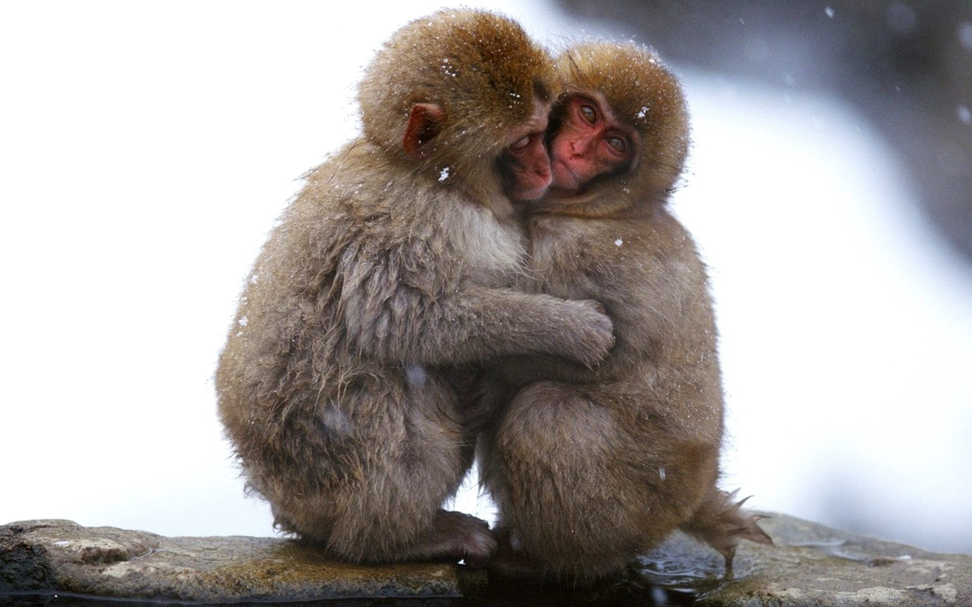 1920x1200 lovely cute couple monkeys hd wallpaper