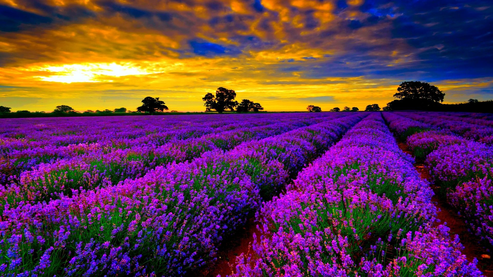 1920x1080 most beautiful field of lavender flowers widescreen desktop wallpapers hd  4k high definition windows 10 colourful