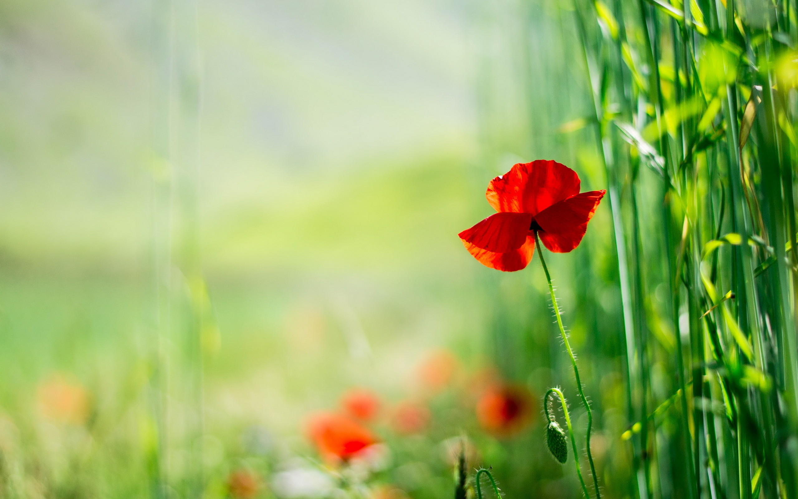 2560x1600 Poppy HD Wallpaper | Background Image |  | ID:419595 - Wallpaper  Abyss