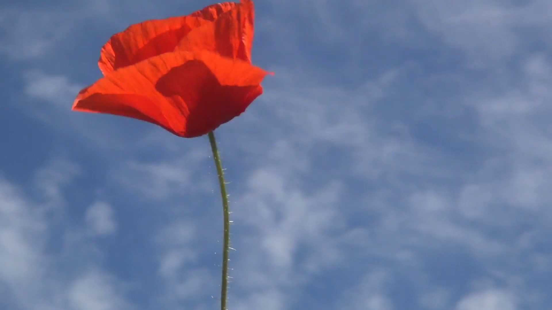 1920x1080 Isolated Red Poppy on Blue Sky Background, Summer Flowers on Meadow, Field  Stock Video Footage - Storyblocks Video