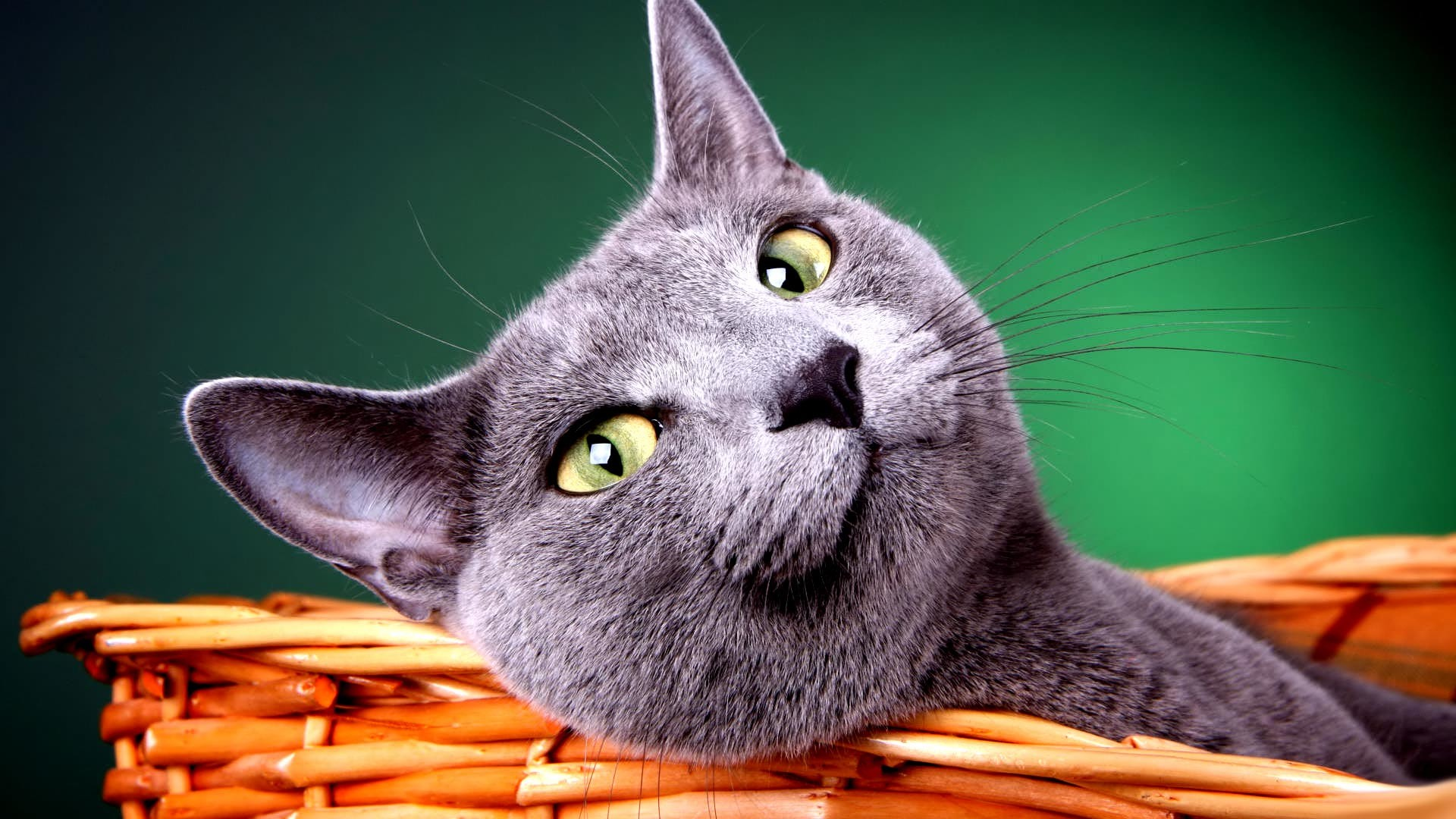 White Baby Kittens With Blue Eyes HD Cat Wallpapers 1920...