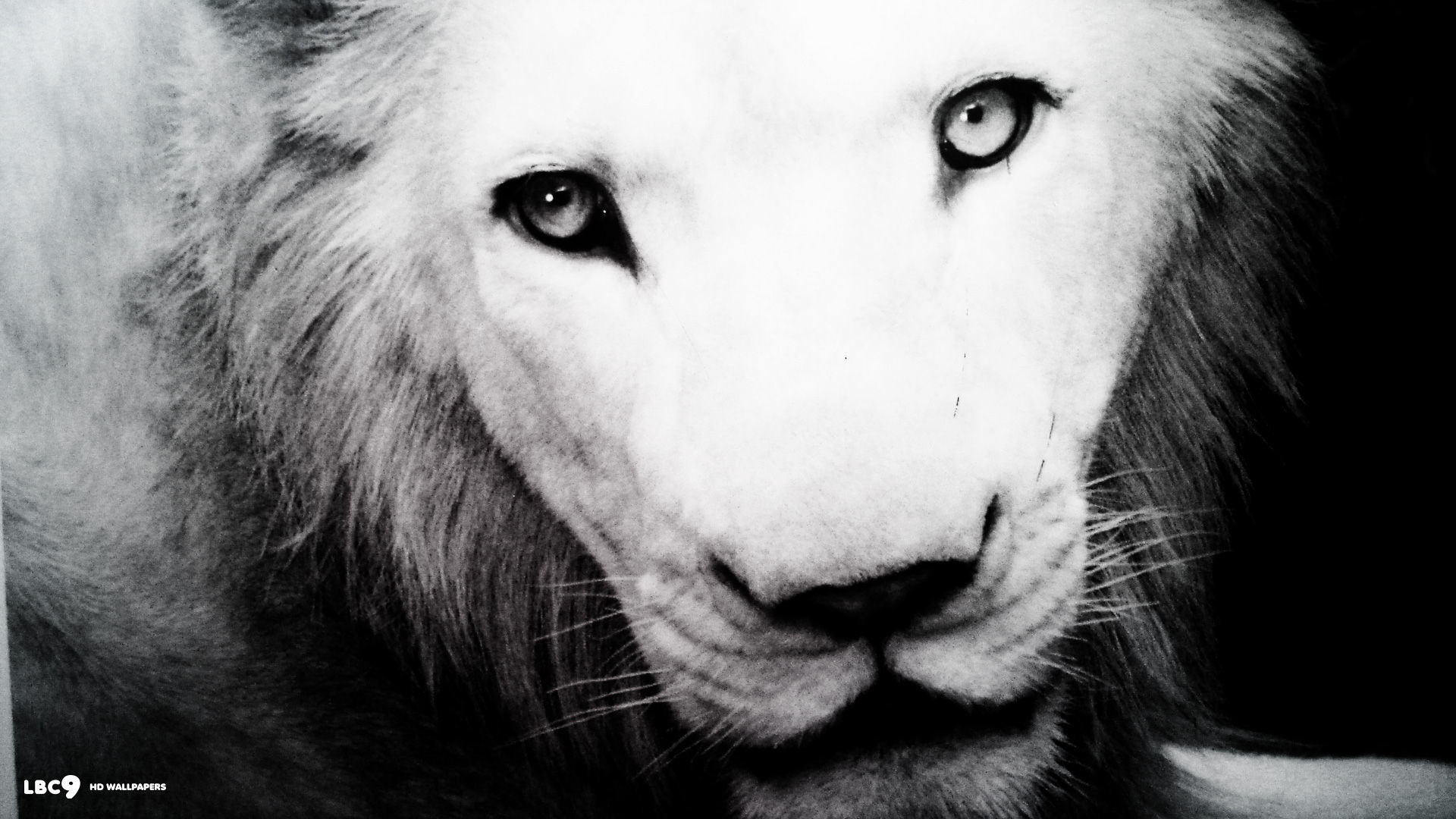 Lion wallpapers black and white