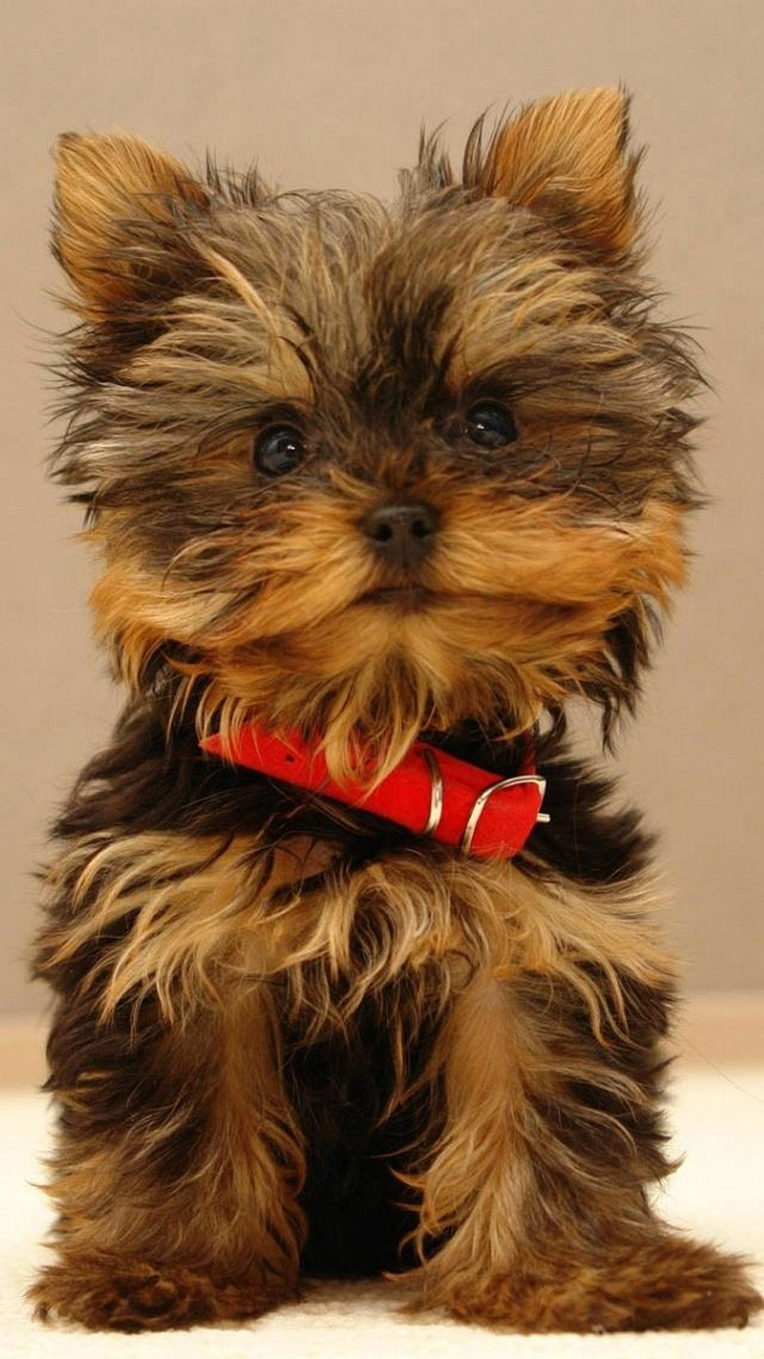 1080x1920 Yorkshire Terrier puppy - High quality htc one wallpapers and abstract  backgrounds designed by the best