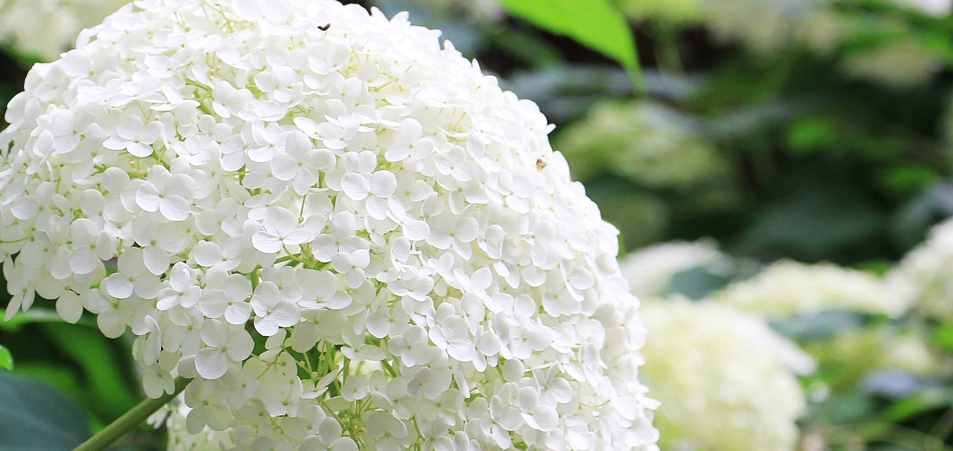 3840x1816 background image, flora, flower, flowers, garden, hydrangea, hydrangea  flower, nature, ornamental flower, ornamental plant, ornamental shrub,  plant, ...
