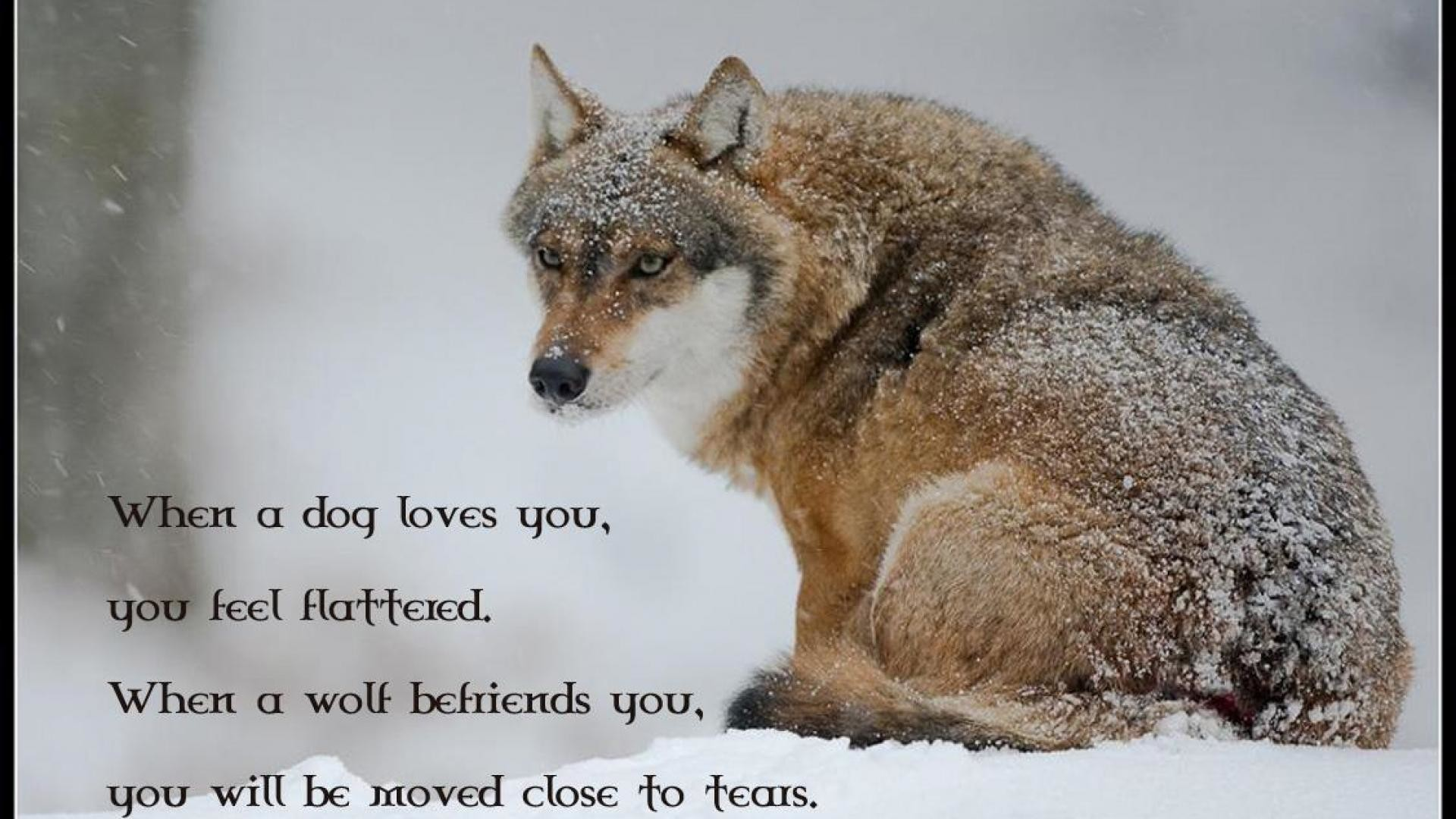 1920x1080  Wolf Wallpapers Beautiful Wolf Wallpapers Backgrounds 1920×1080