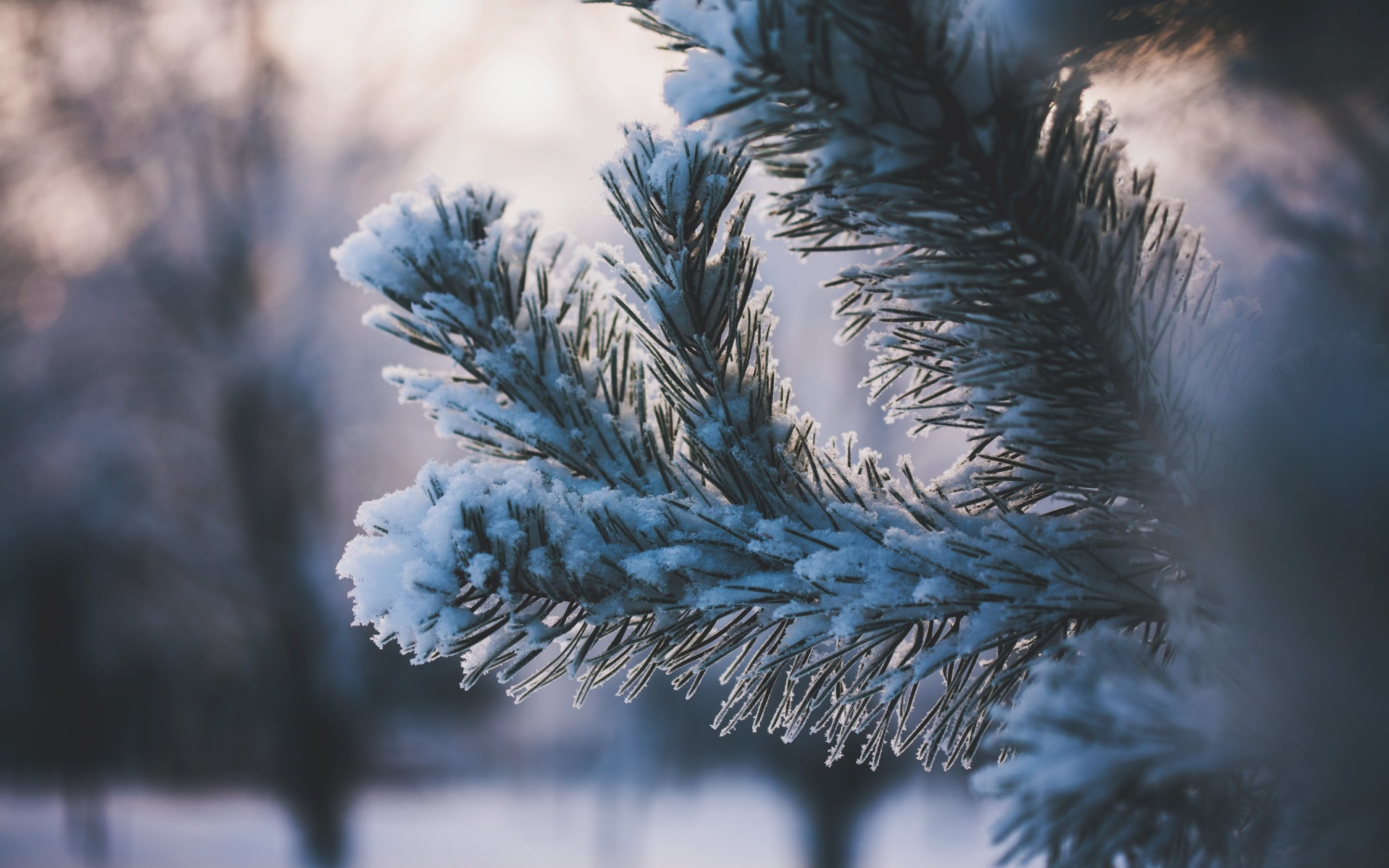 2880x1800 4K HD Wallpaper: Pine Needles covered with Snow · Pictures from Winter by  Maria
