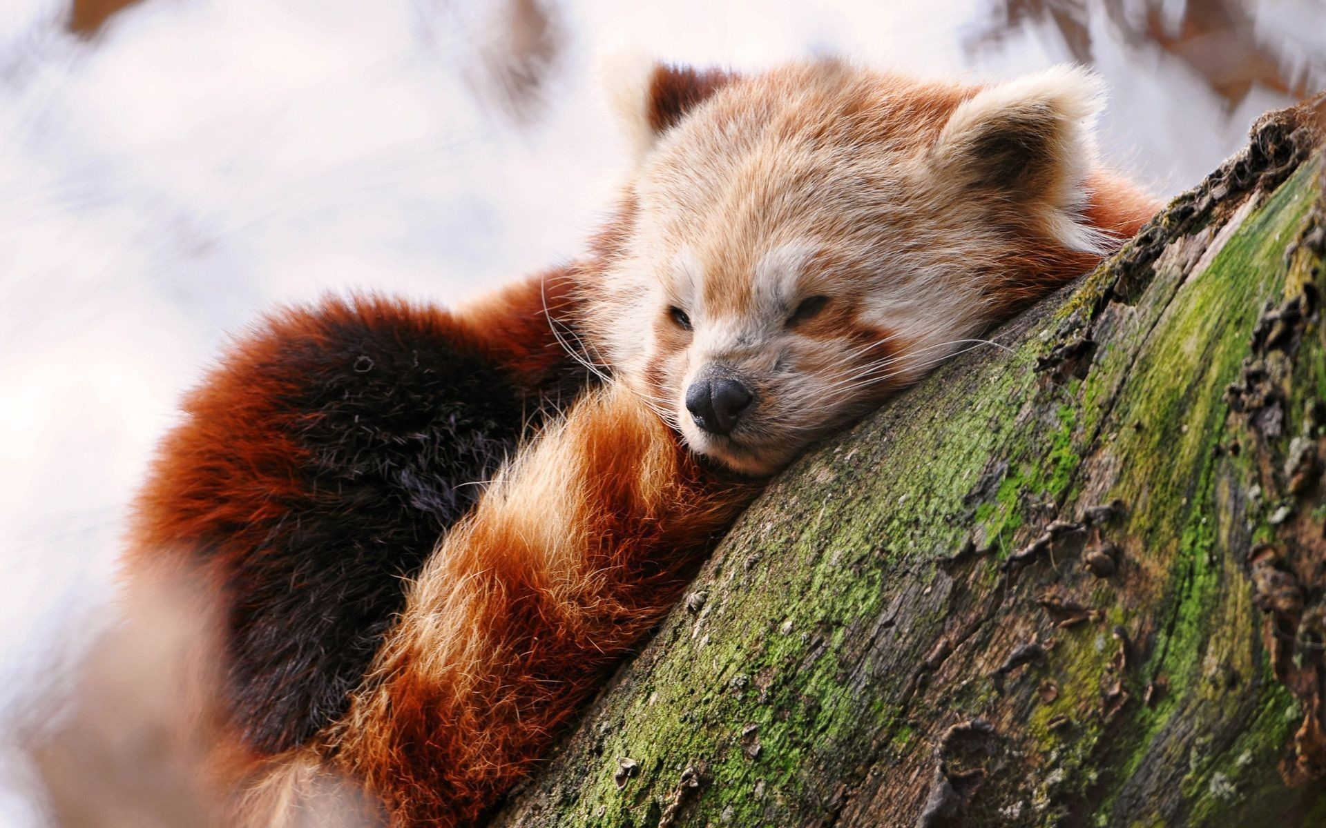 1920x1200 Red Panda Wallpapers HD Wallpapers