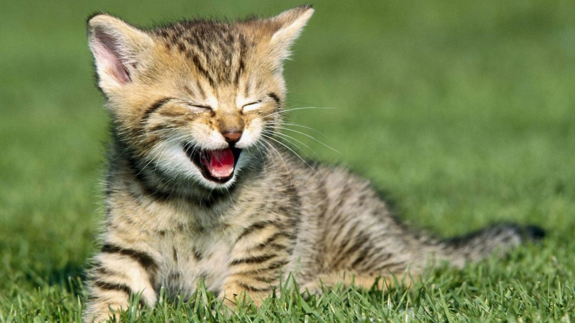 1920x1080 hd pics photos best funny cat laughing grass garden hd quality desktop  background wallpaper