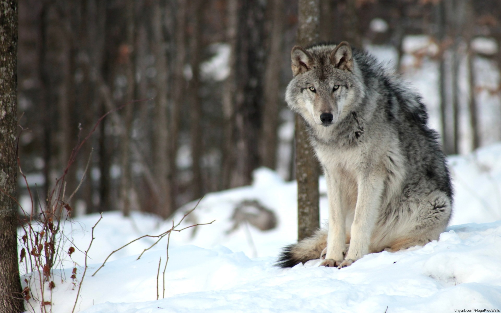 Hd Wolf Backgrounds: Wolf HD Wallpaper (77+ Images
