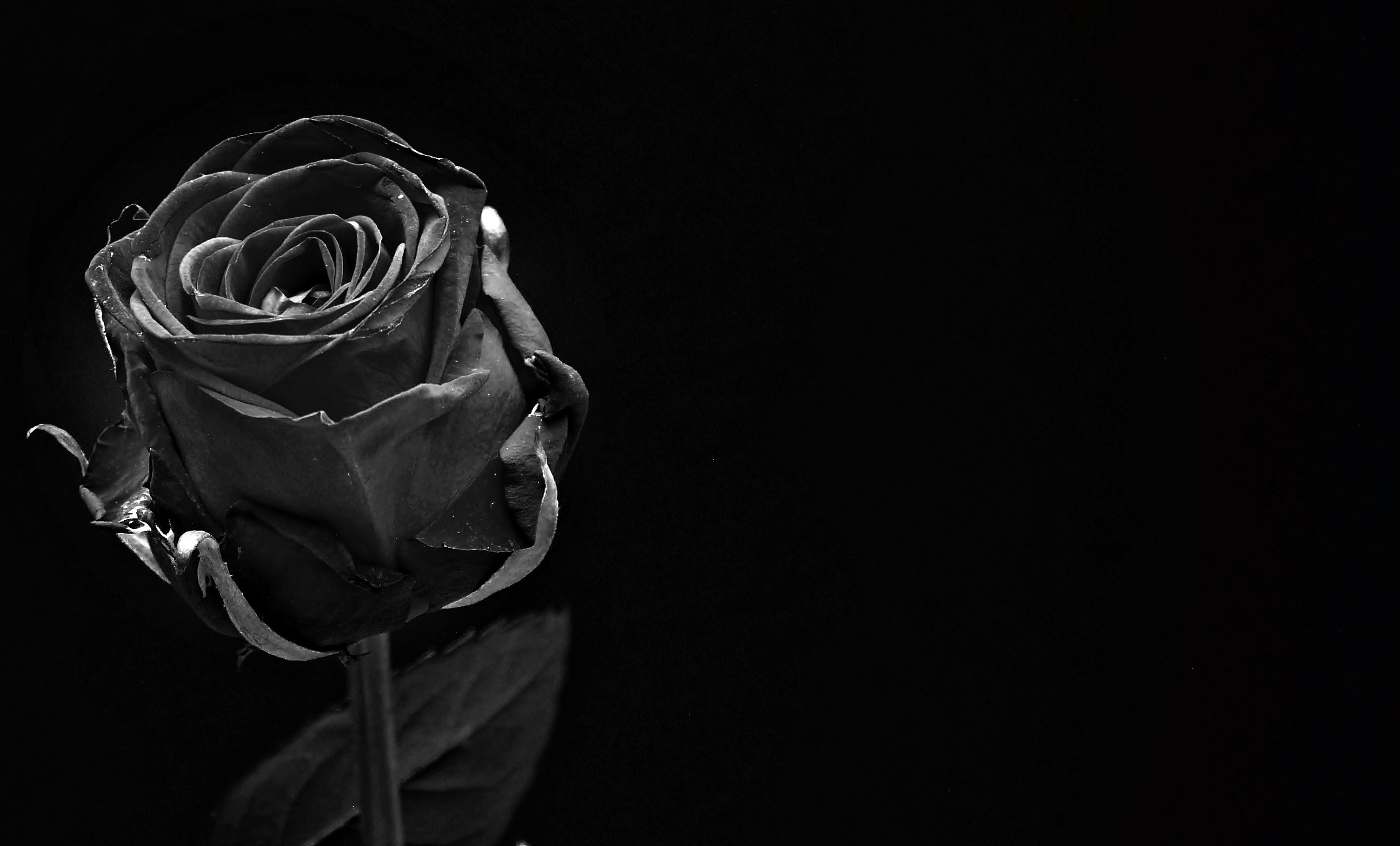Roses With Black Background (50+ Images