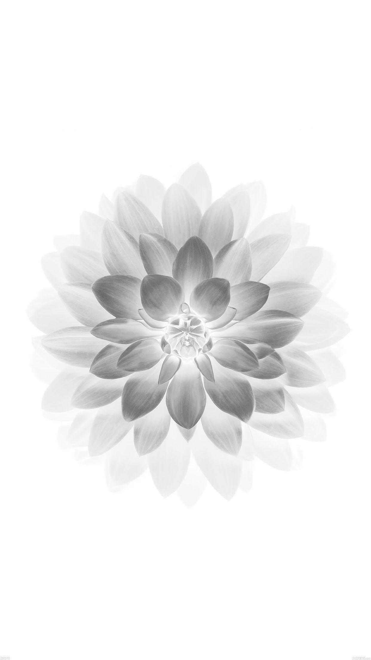 1080x1920 White Siberian Tiger IPhone 6 Wallpaper