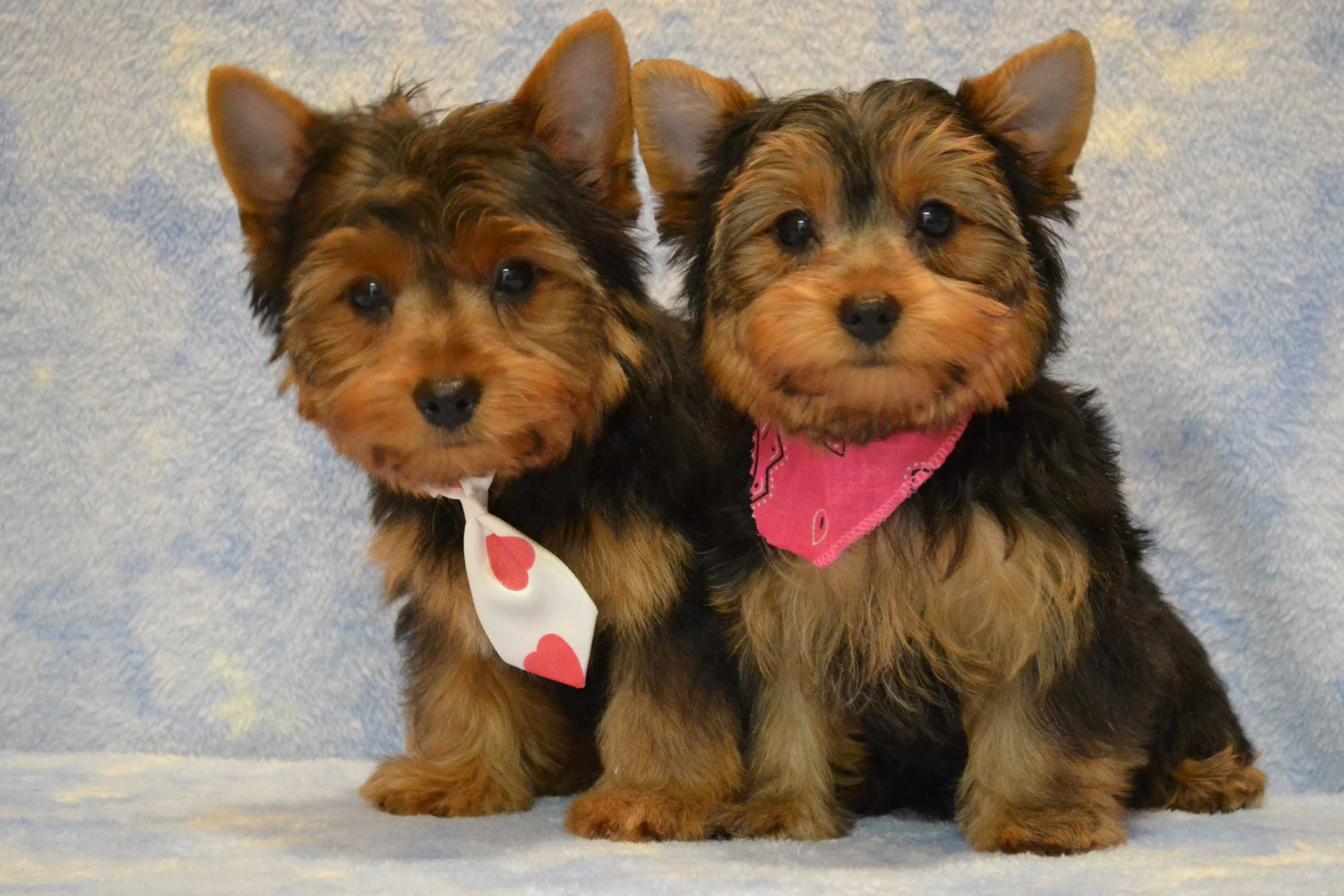 Yorkie Pictures Wallpaper 62 Images