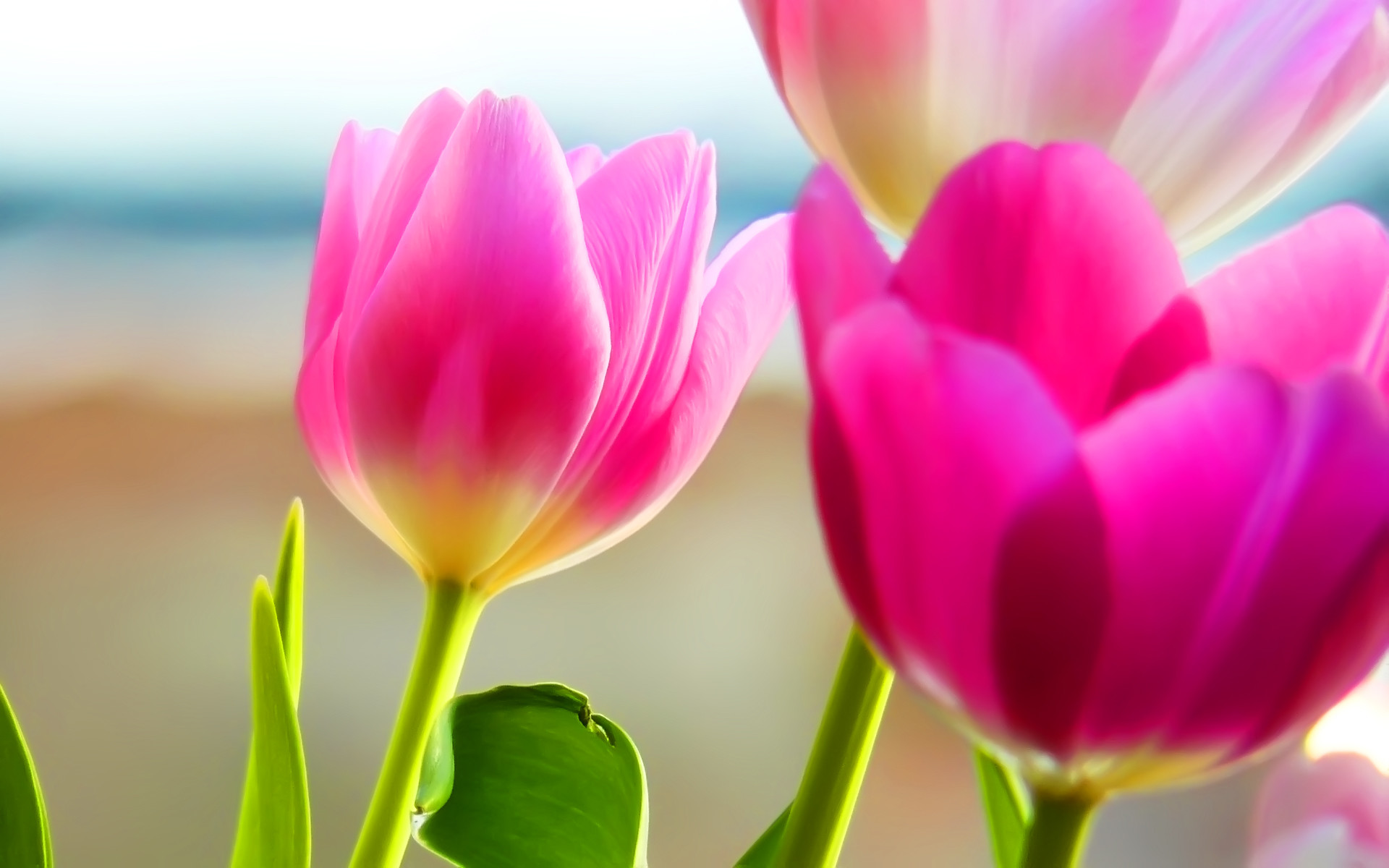 1920x1200 Tulips Background Spring Scenery Nature Desktop wallpapers HD free .
