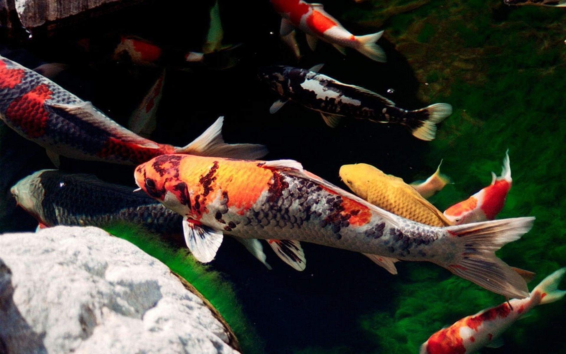 1920x1200 18 Koi Wallpapers | Koi Backgrounds