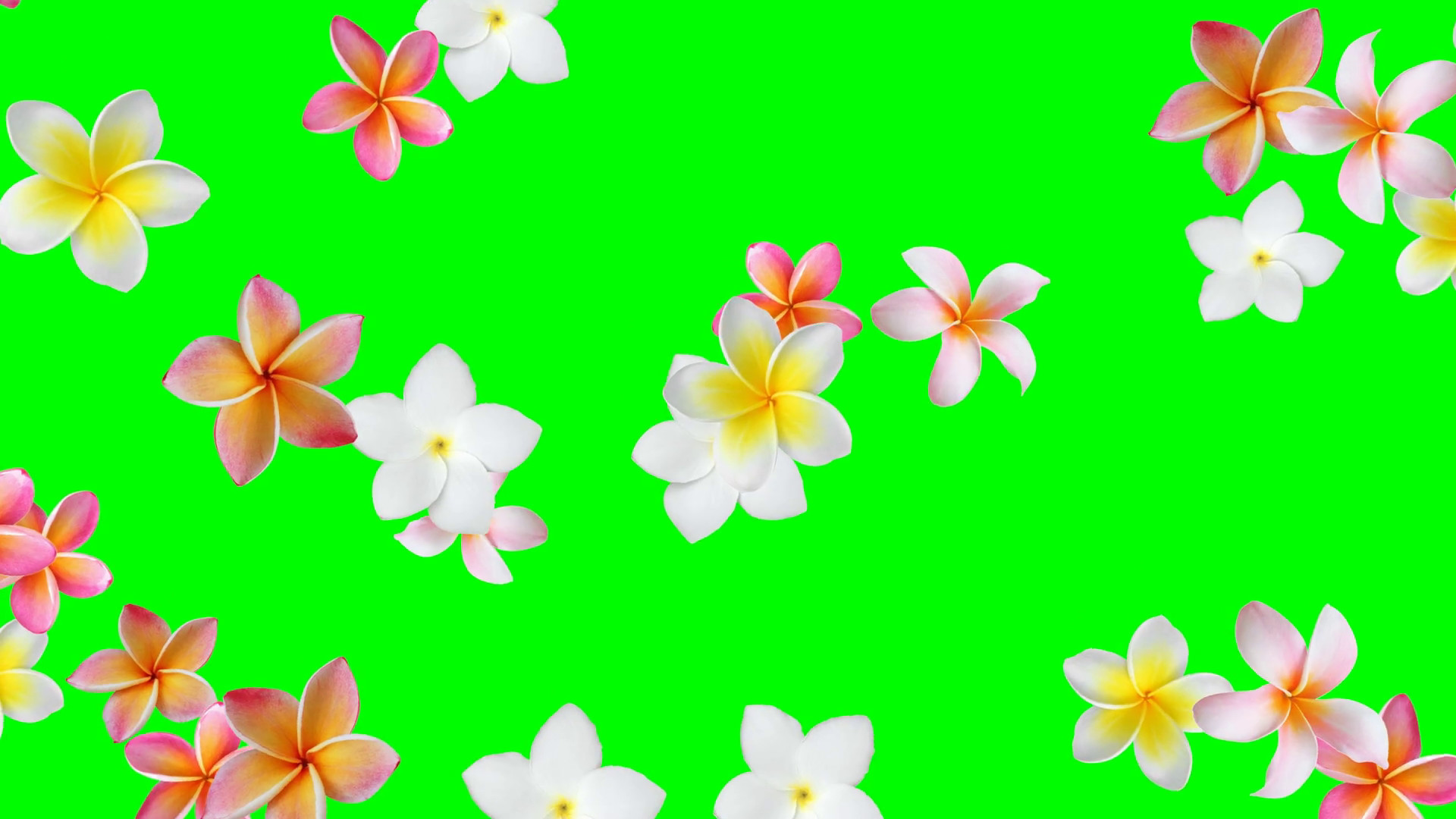 1920x1080 Flower background animation (Frangipani, Plumeria) - seamless looping, green  screen, 4K Motion Background - VideoBlocks