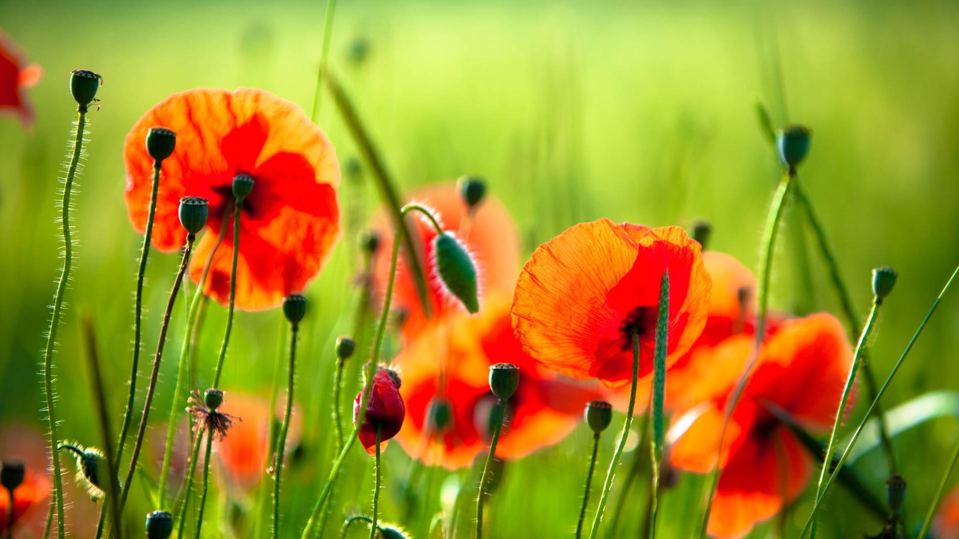 1920x1080 Full HD Wallpaper poppy side view blurry background sprout