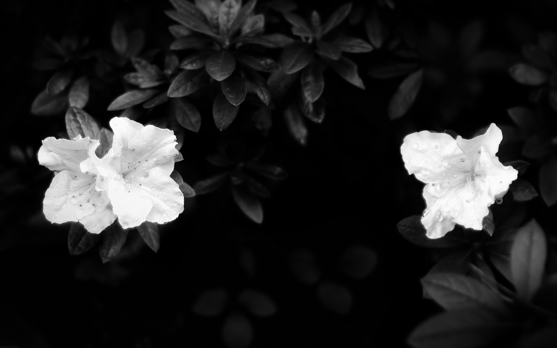 Black And White Roses Wallpaper 56 Images