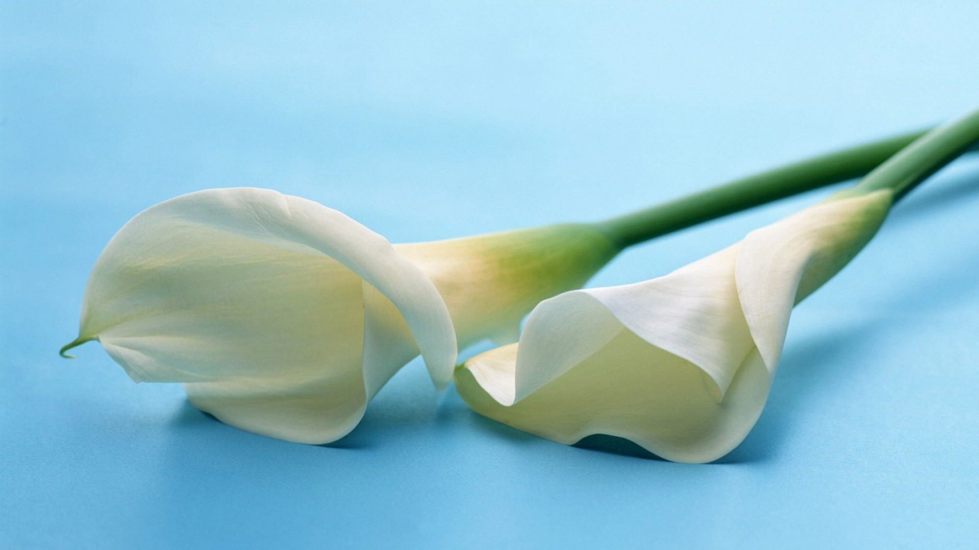 1920x1080 calla lilies, flowers, couple