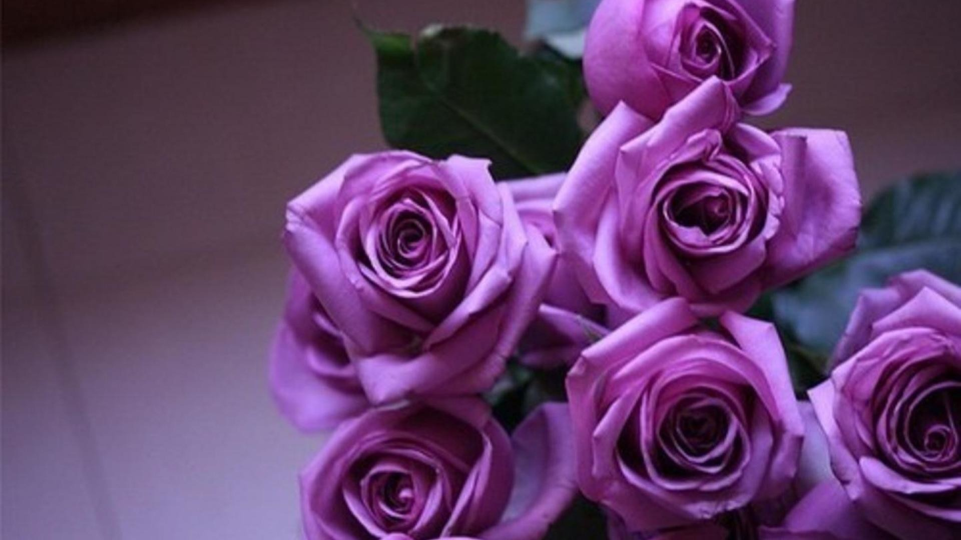 1920x1080 Download Free Purple Rose Wallpapers