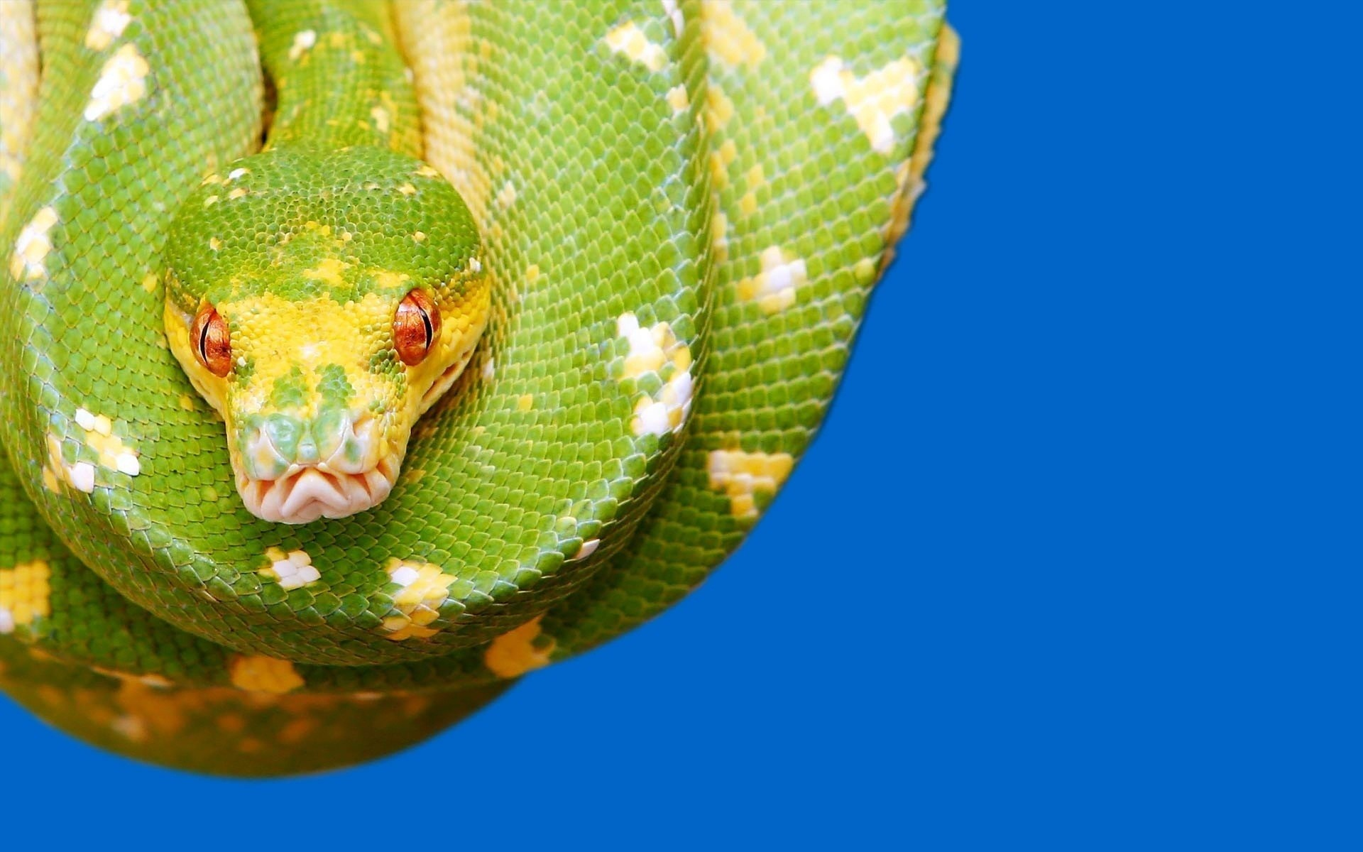 1920x1200 Desktop Hd Python Snake Wallpapers Desktop Hd Python Snake Wallpapers