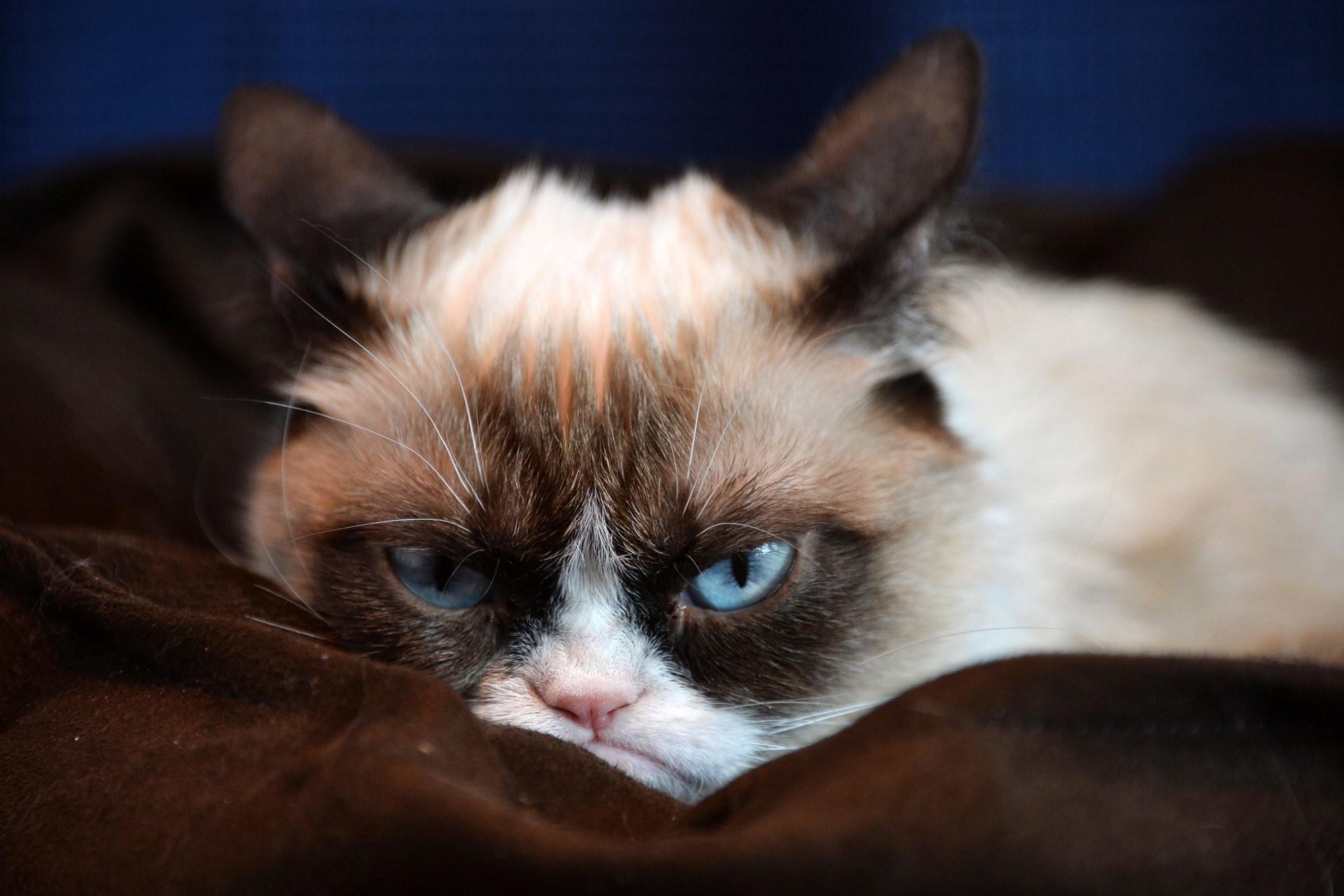 Grumpy Cat Wallpapers Hd 61 Images
