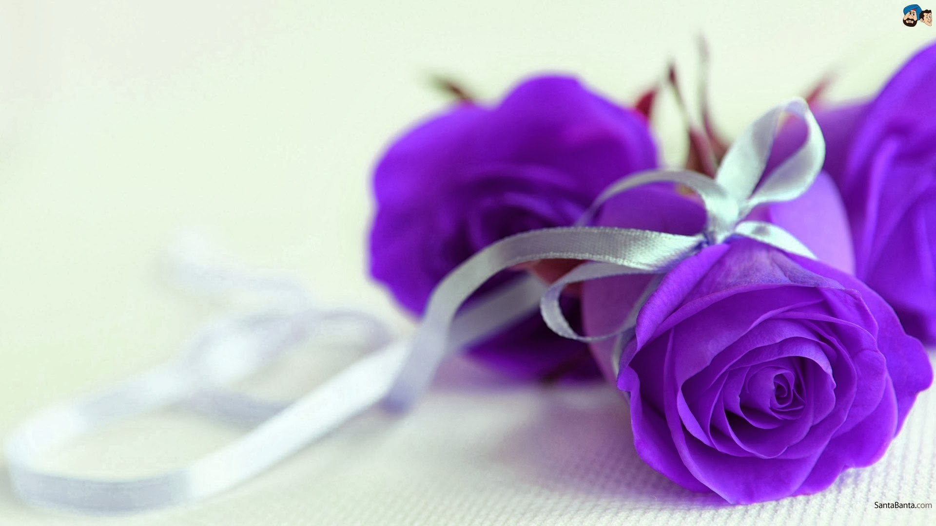 1920x1080 Purple Roses Wallpapers - Wallpaper Cave Purple Rose Background Wallpaper | Purple  Rose HD Images | Things .