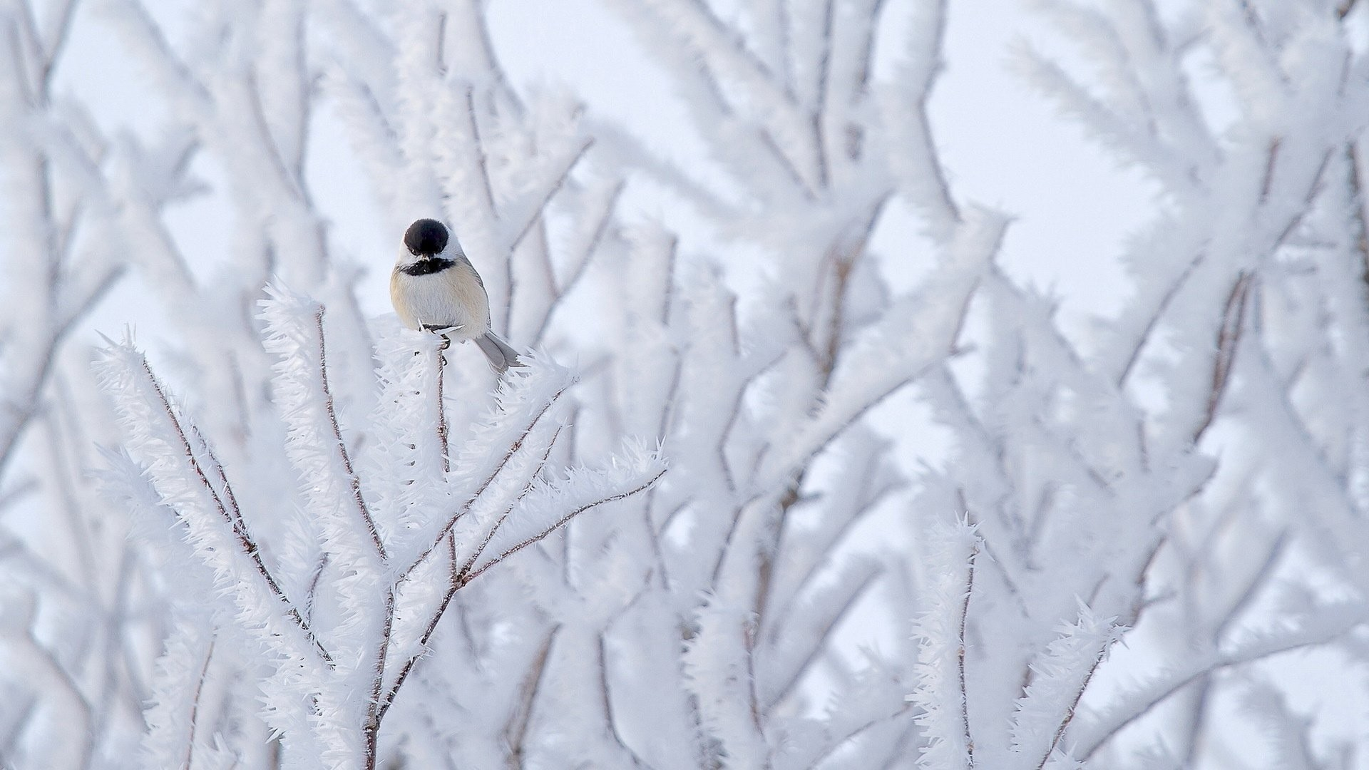 1920x1080 Nature Winter Tree Bird Beautiful Snow Birds Of Prey Desktop Wallpapers -