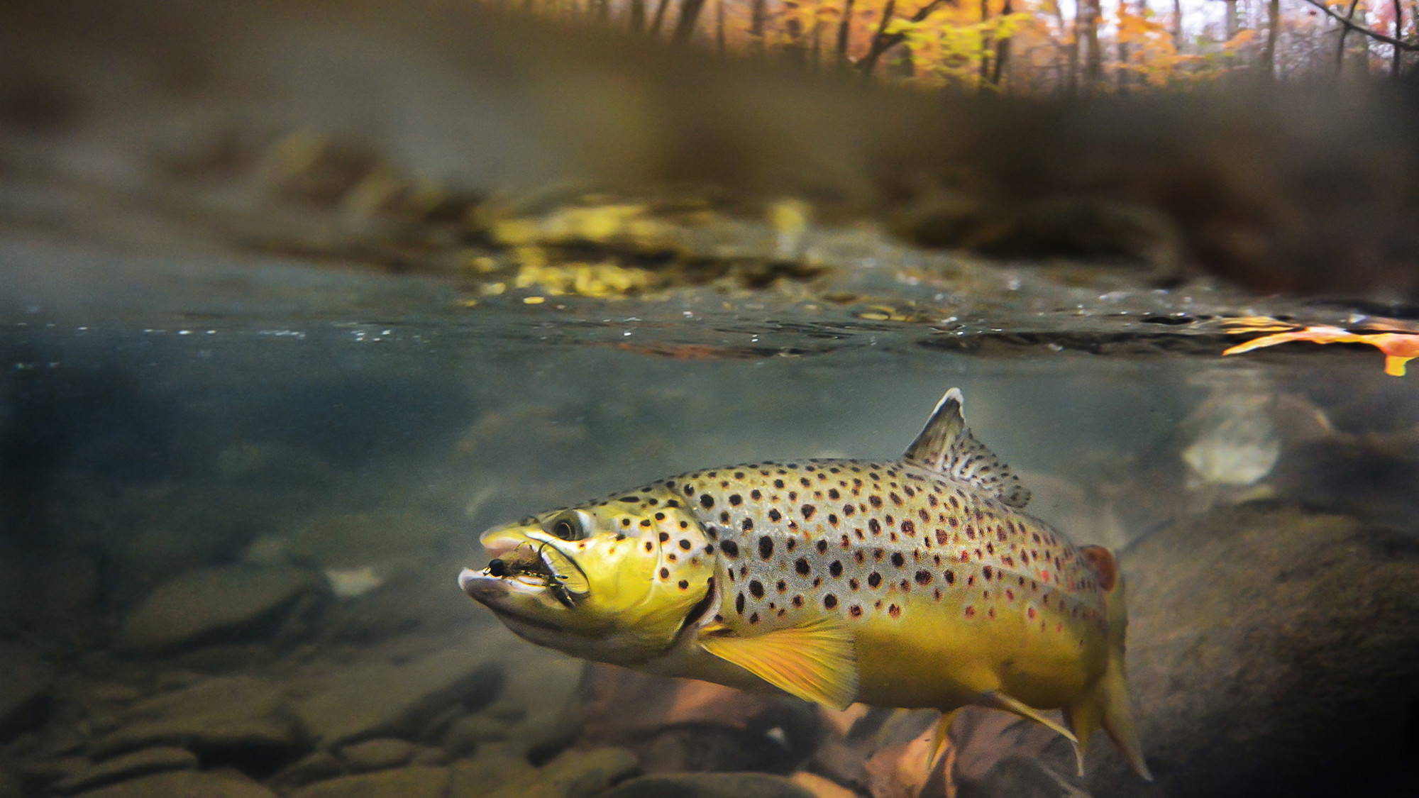 Fly fishing wallpaper 45 images for Trout fishing videos