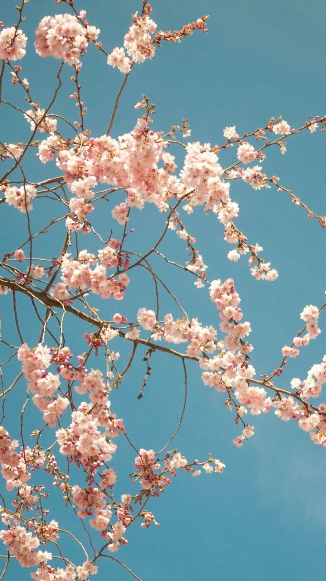 Cherry Blossom Backgrounds (76+ images)