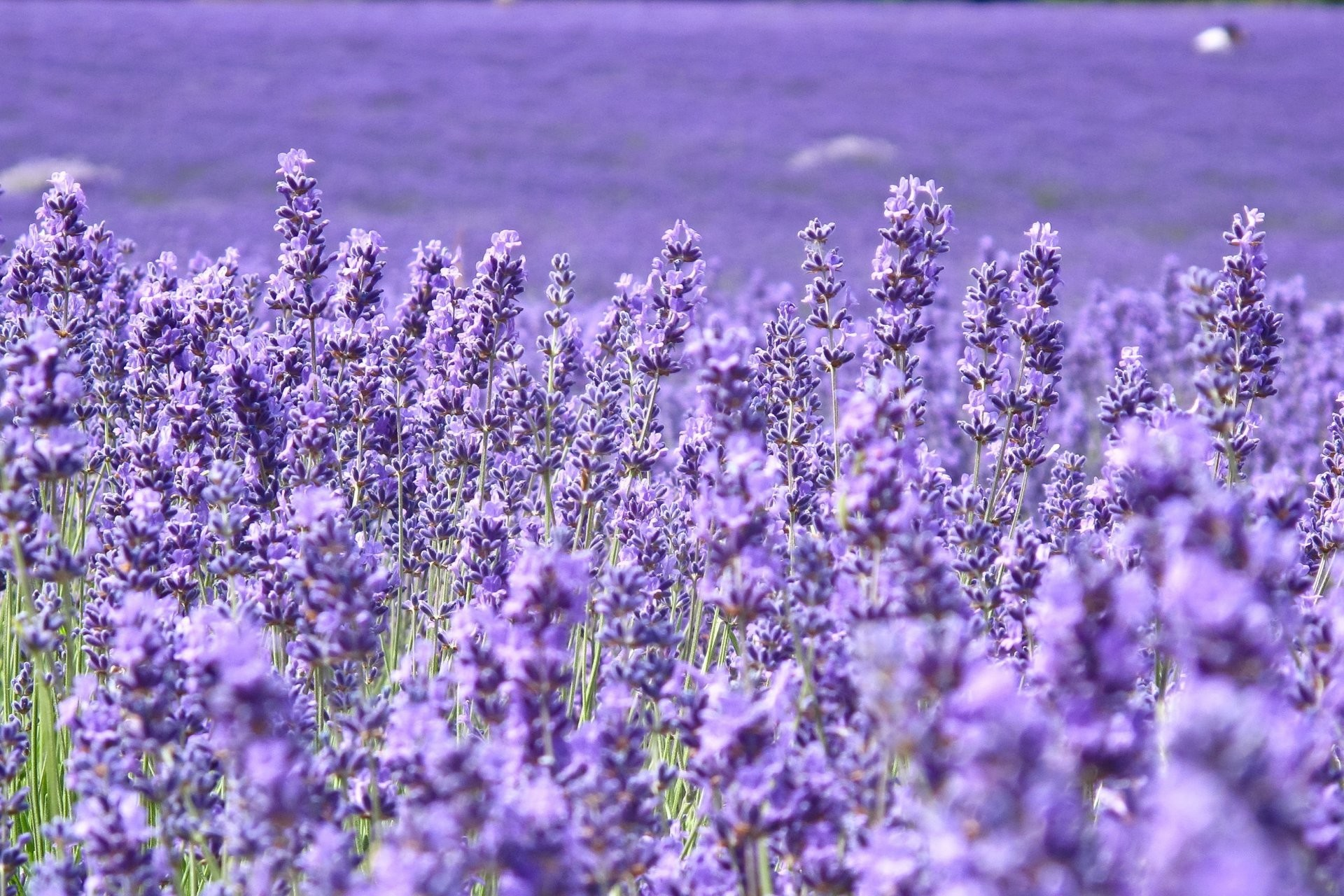 1920x1280 flower flowers lavender purple the field of the field blur background  wallpaper widescreen full screen widescreen