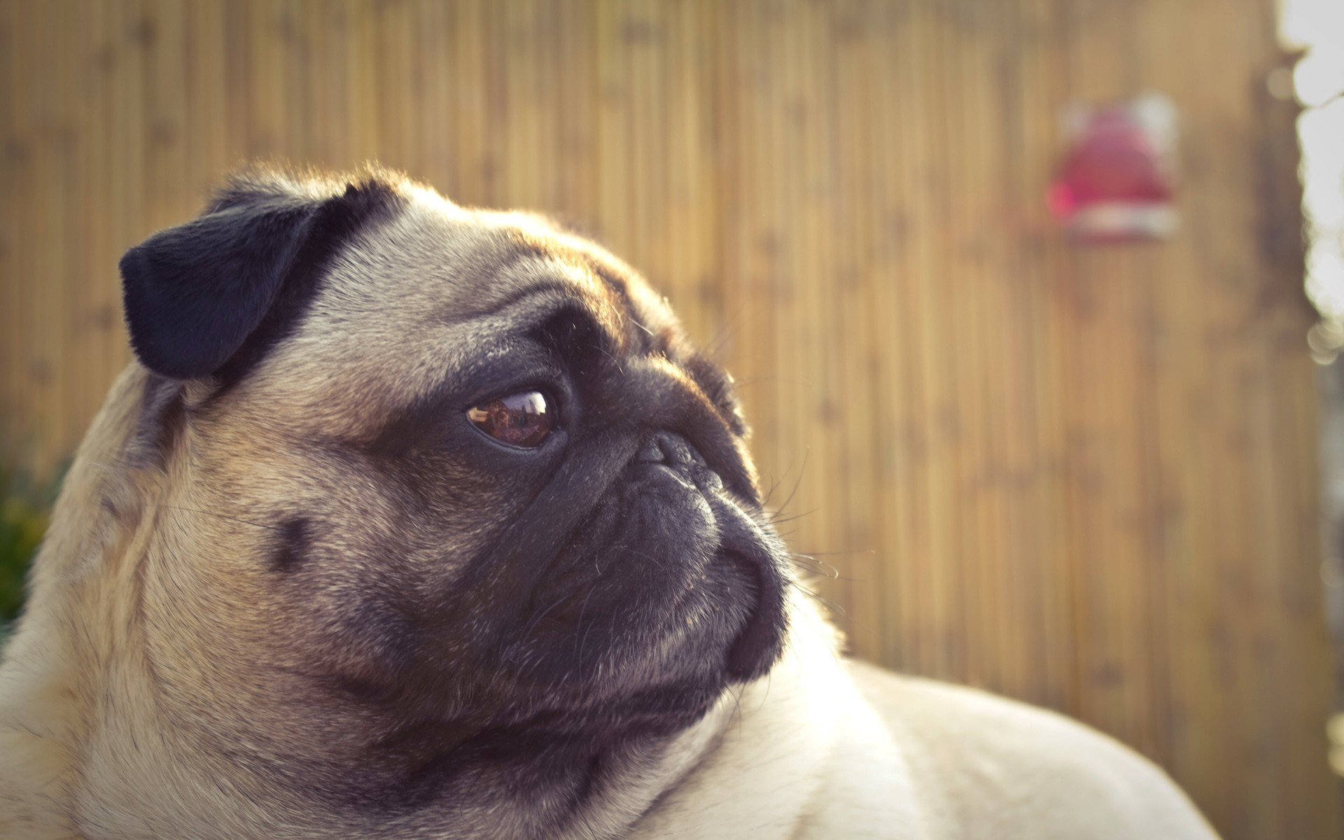 1920x1200 Free Desktop Pug Wallpapers HD.