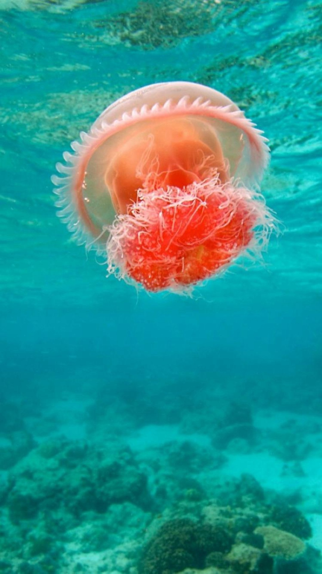 1080x1920 Wonderful Undersea Ocean Beautiful Jellyfish #iPhone #6 #plus #wallpaper
