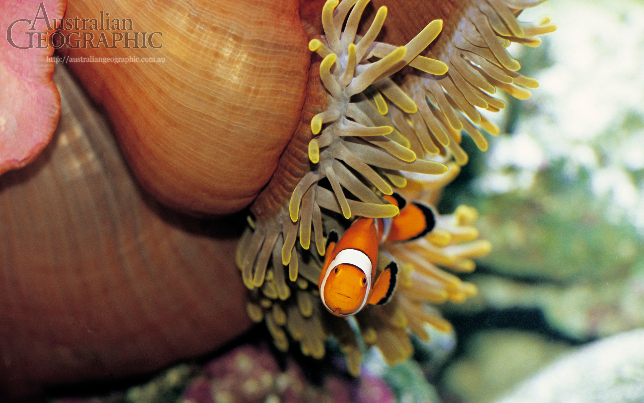 2560x1600 Wallpapers. Images of Australia: Clown fish, Great Barrier Reef, Queensland