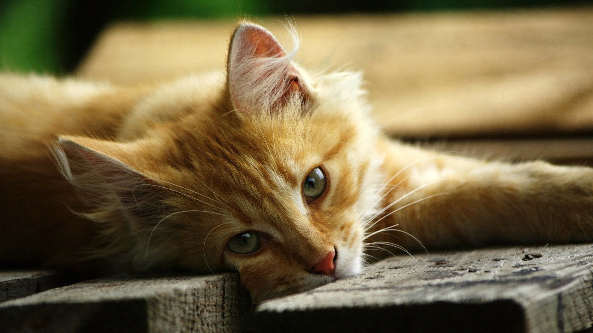 Cat HD Wallpapers 1080p (64+ images) Hd Wallpaper 1920 X 1080 Kittens