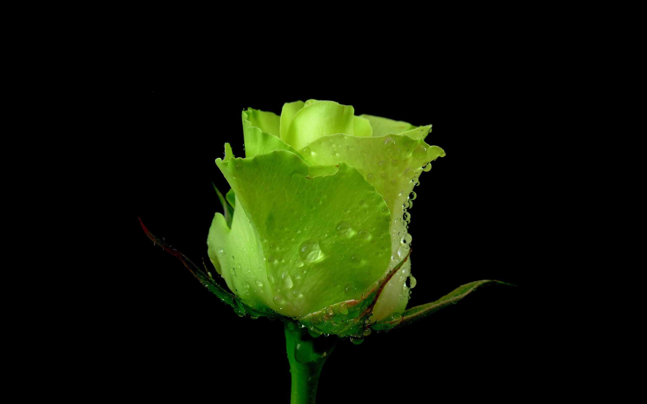 2560x1600 Unseen green rose with black background love wallpaper