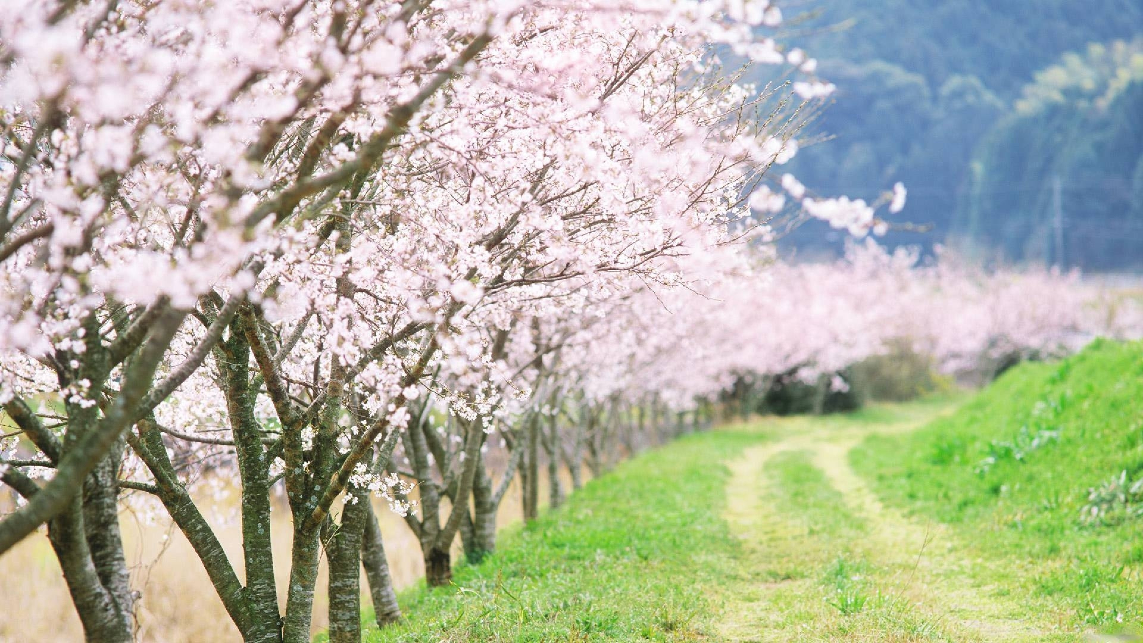 3840x2160  Wallpaper spring, trees, flowering, garden, road, country