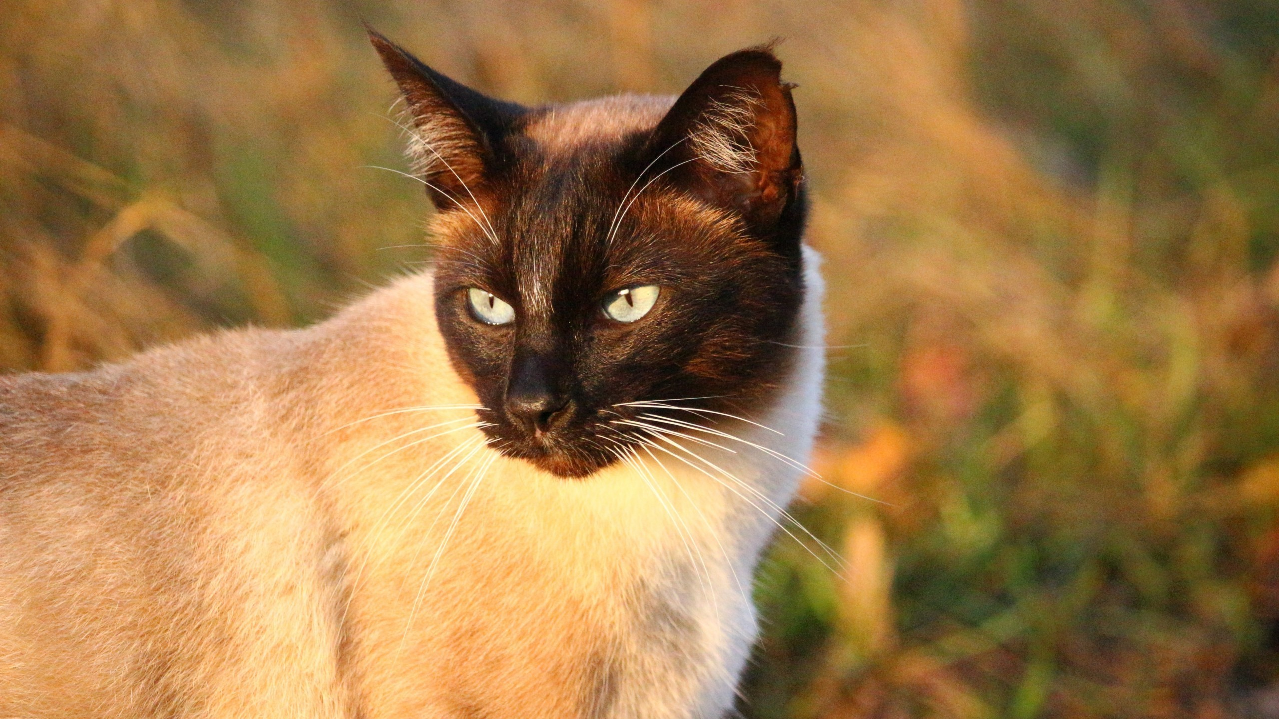 2560x1440 Siamese Cat, Looking Away, Muzzle, Cats