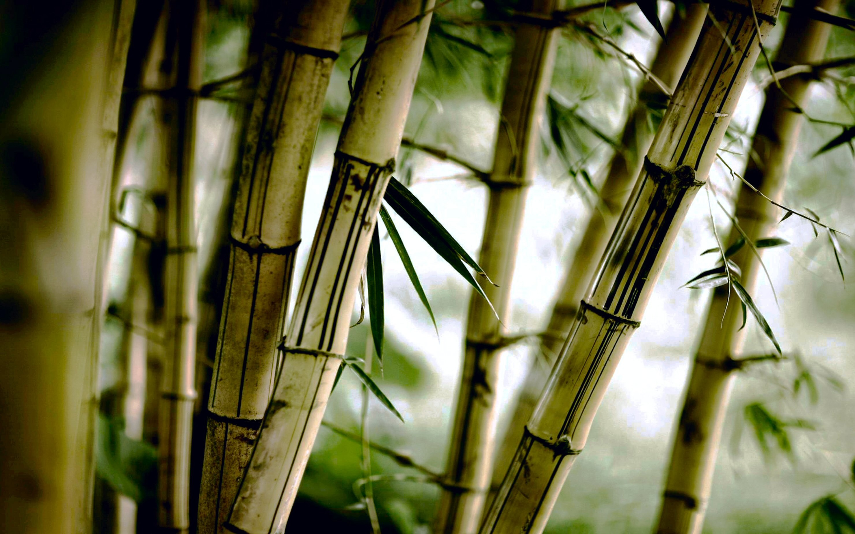 2960x1850 Chinese Bamboo Wallpaper