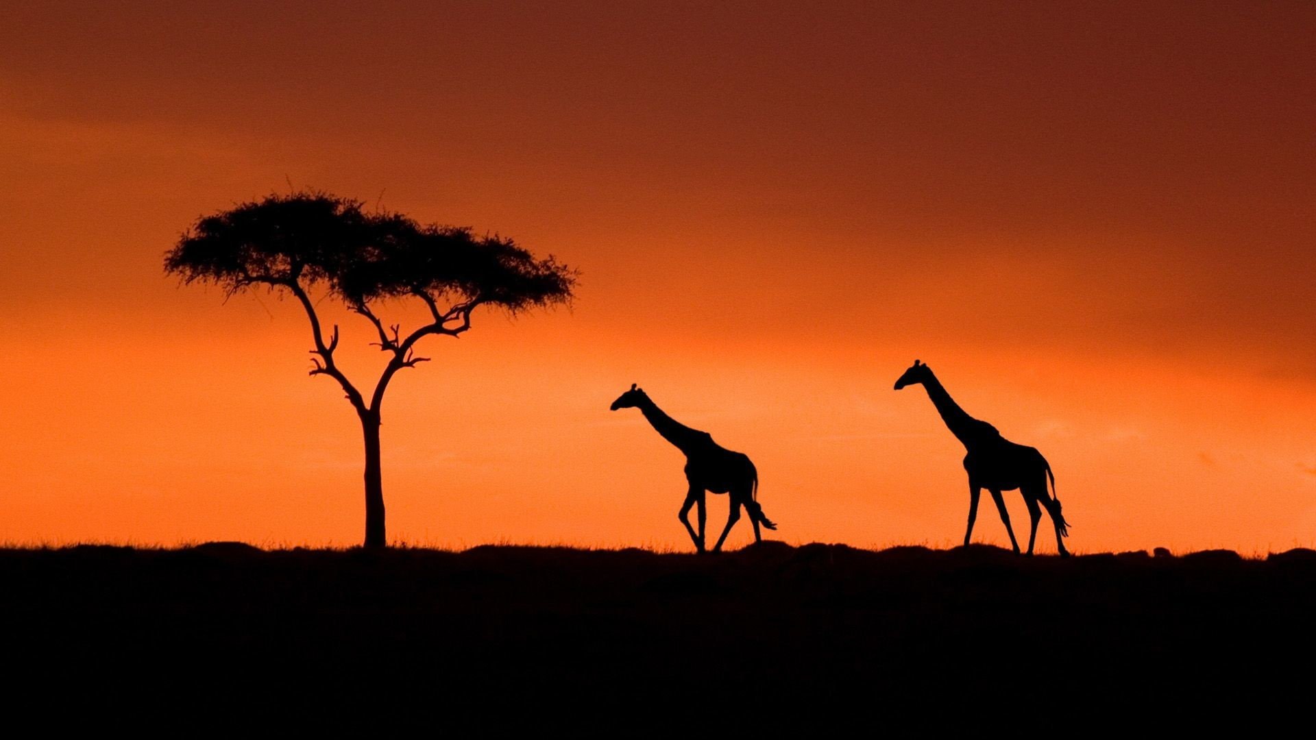 1920x1080 Giraffe Sunset Wallpaper Desktop Background – Wallpaper
