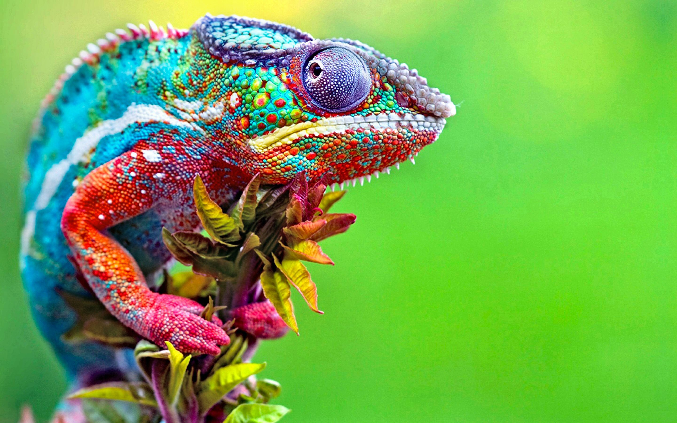 2880x1800 HD Wallpaper | Background ID:503155.  Animal Chameleon