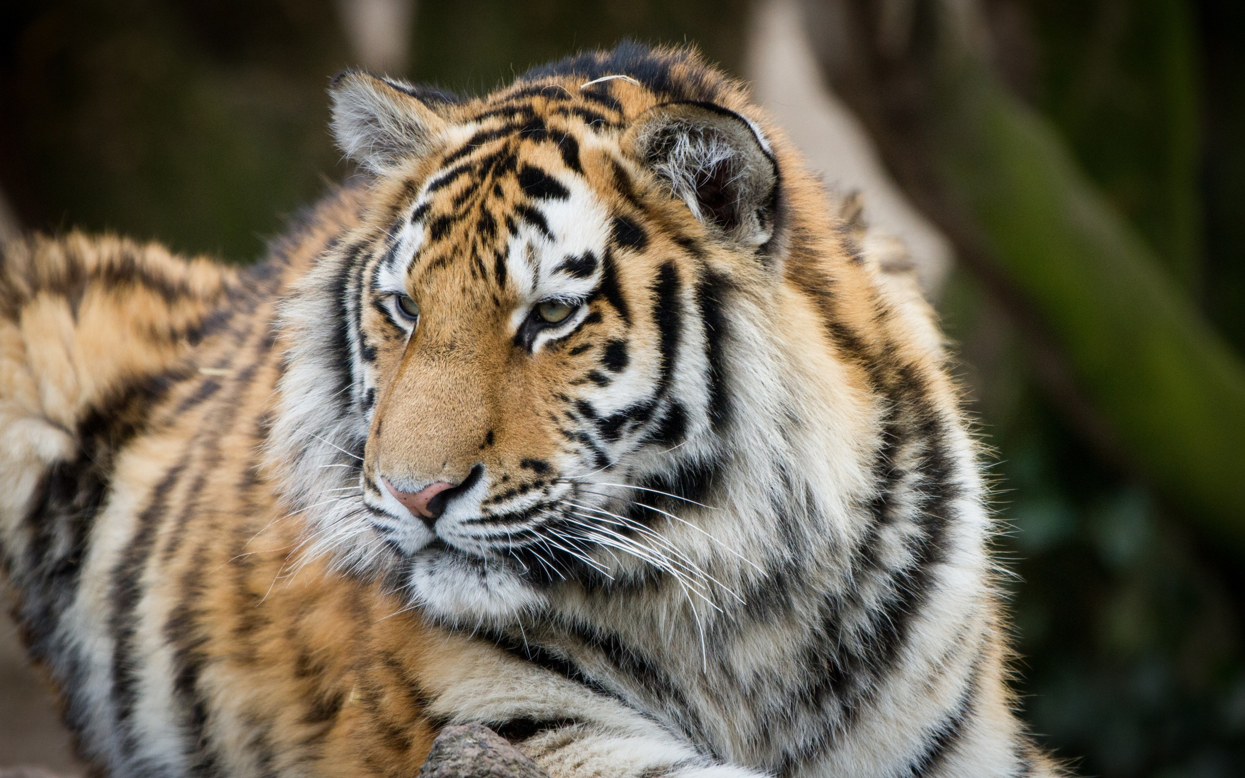 2560x1600 Tiger, Majestic, Lying Down, Looking Away, Predator, Big Cats
